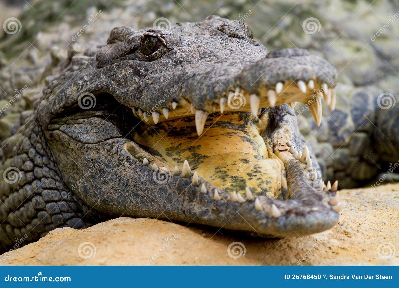 Nile Crocodile Head