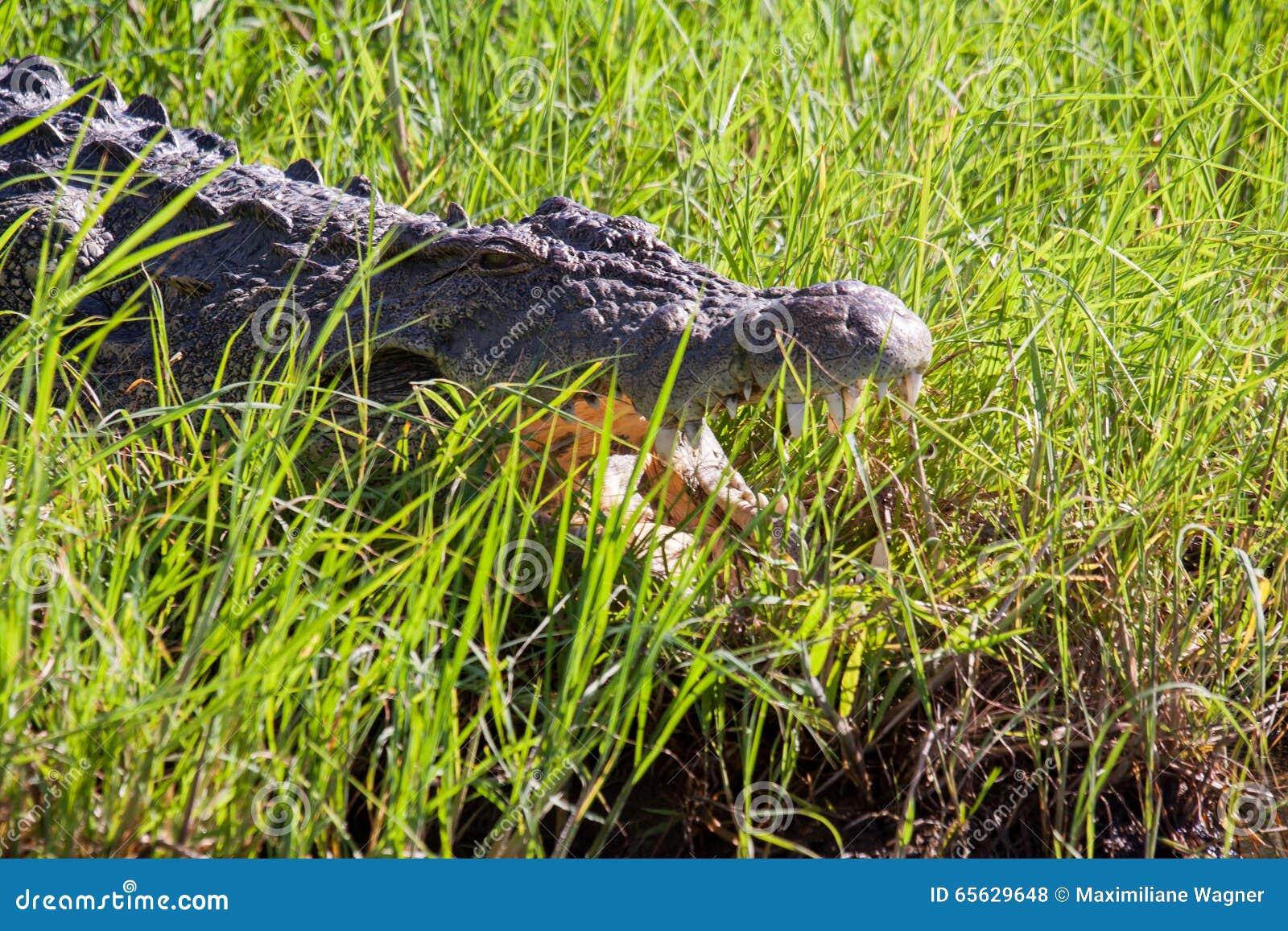 Crocodile dans l herbe, parc national de Chobe, Botswana