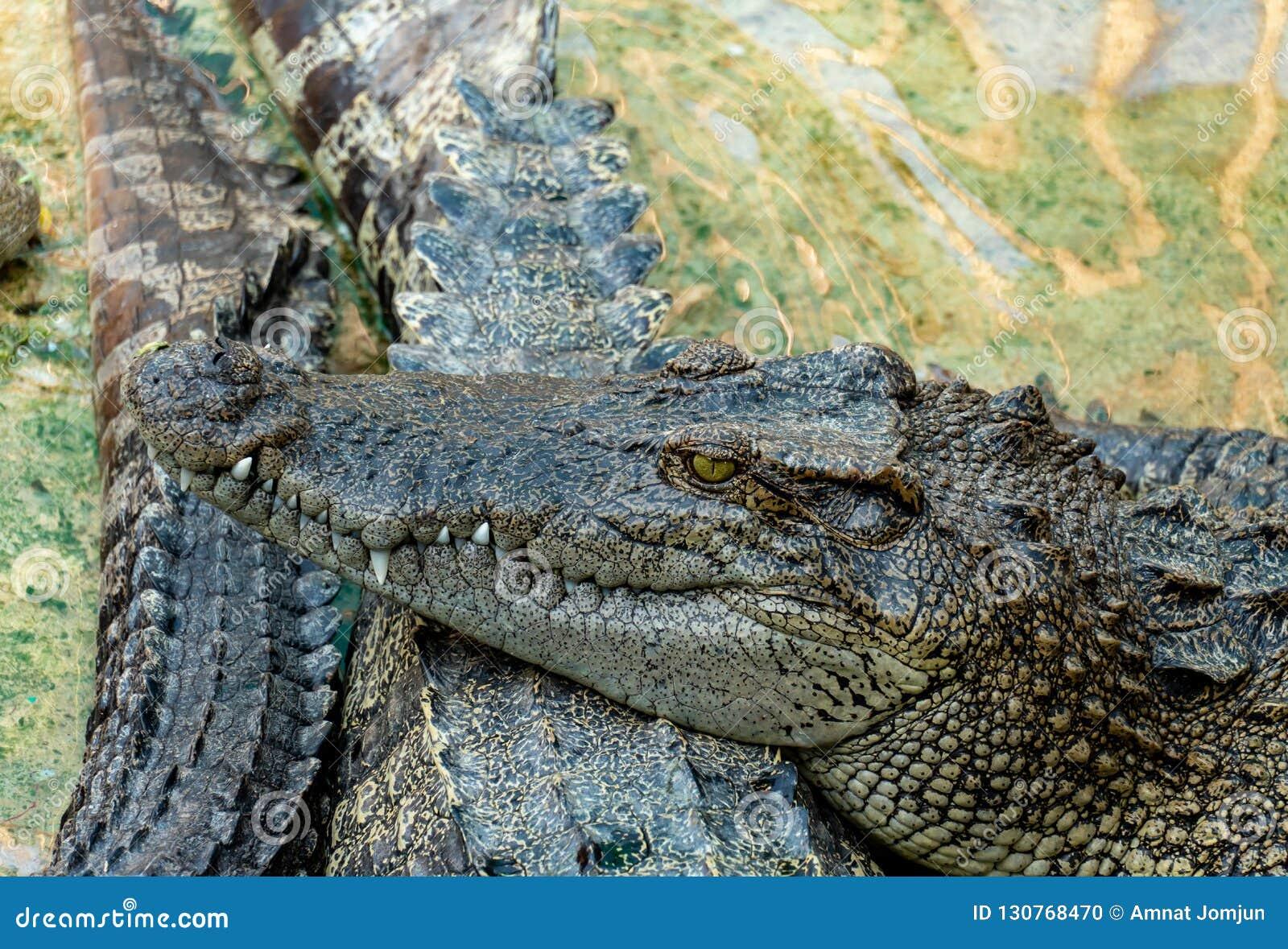 Crocodile dans la ferme