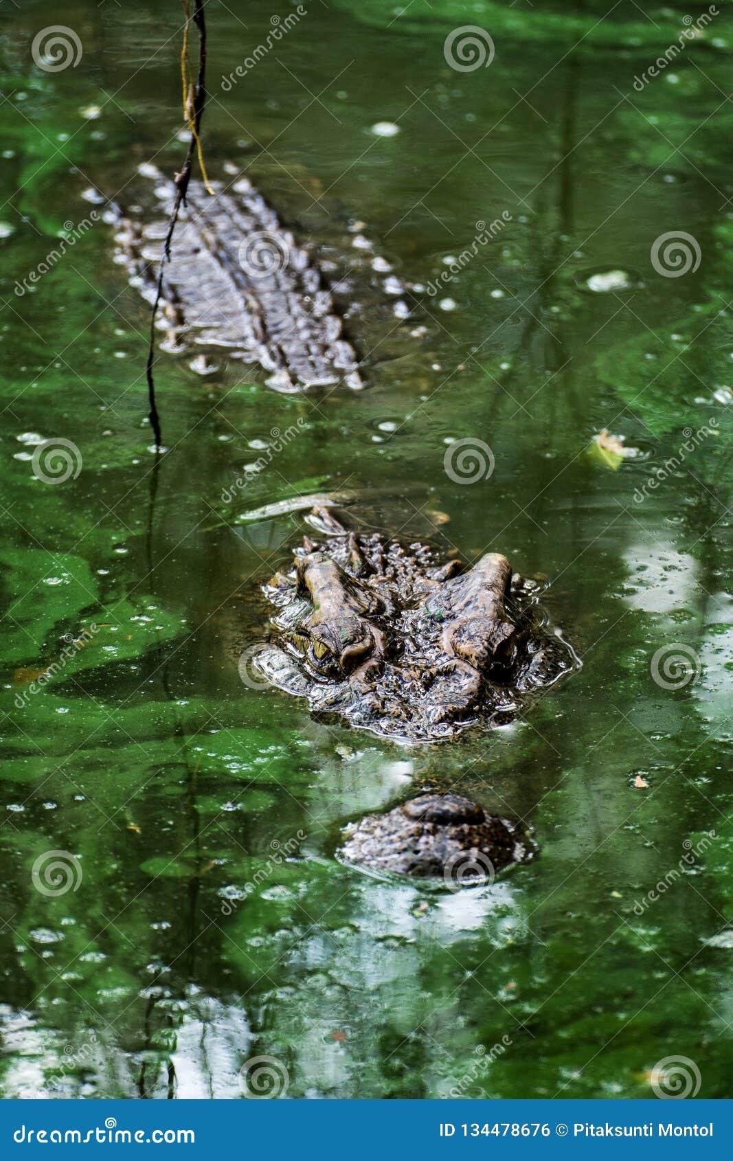 Crocodile dans le marais