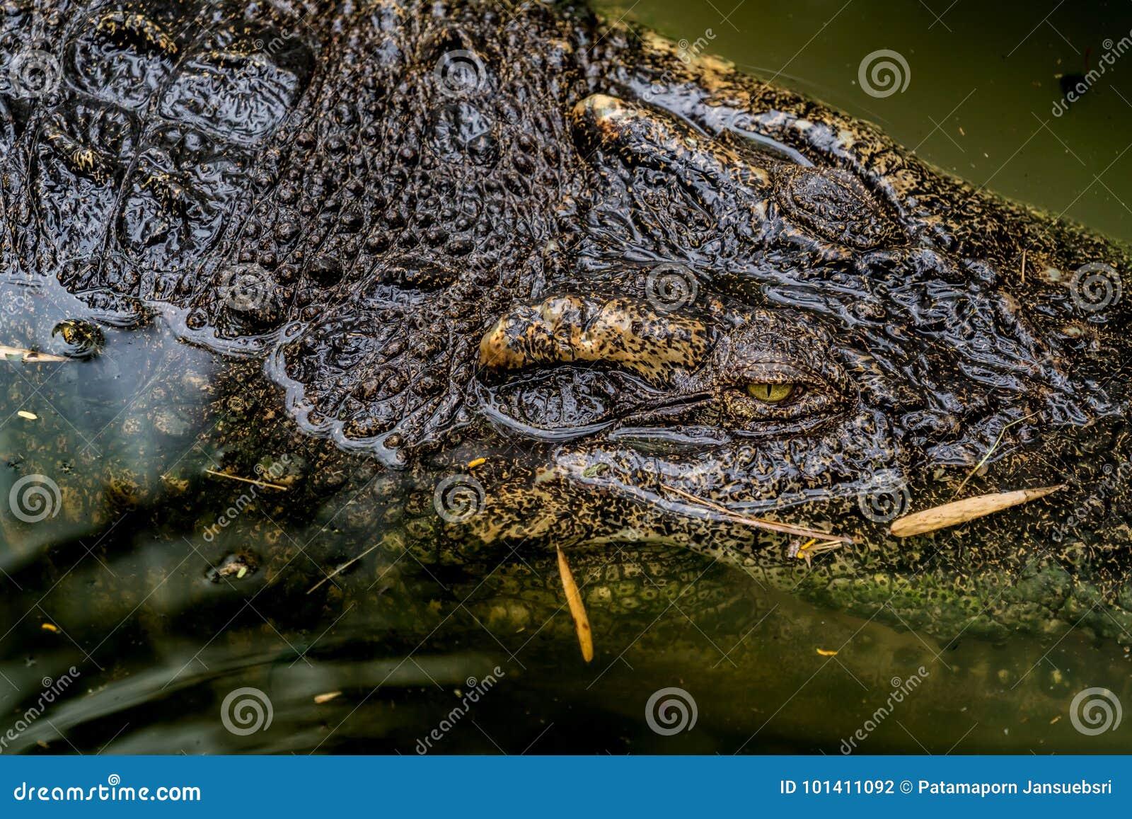 Crocodile dans le zoo