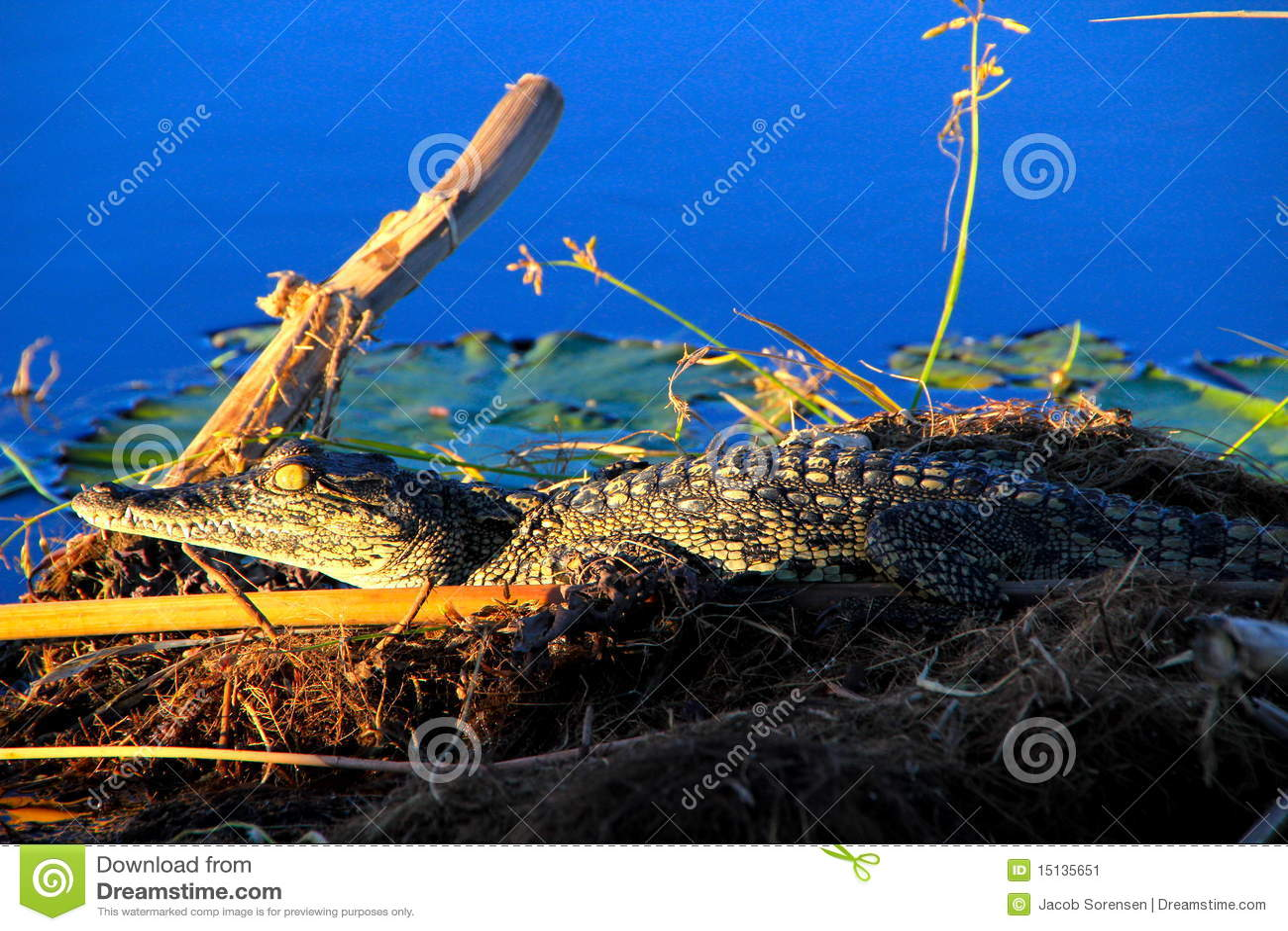 Crocodile du Nil de chéri