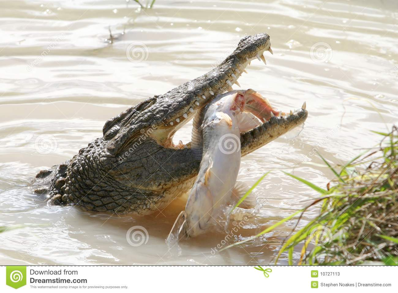 Crocodile eating fish  Crocodile