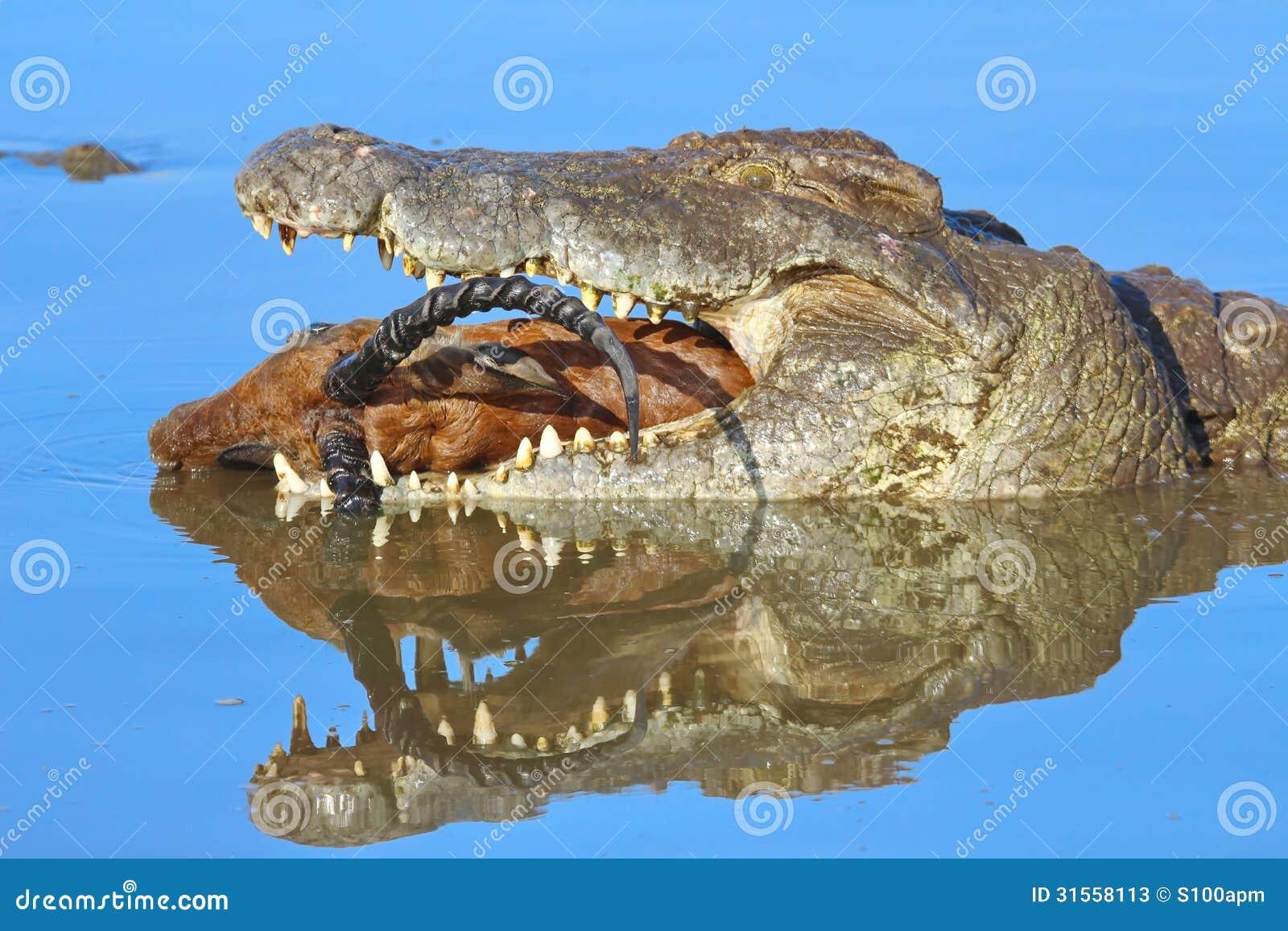Crocodile eatin...