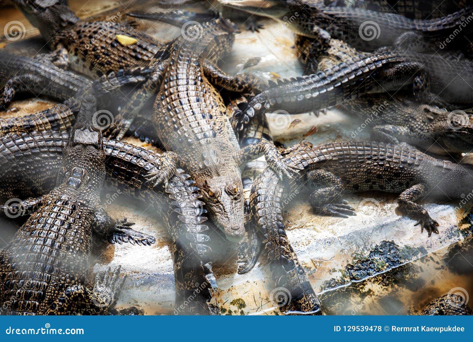 Crocodile in a farm.