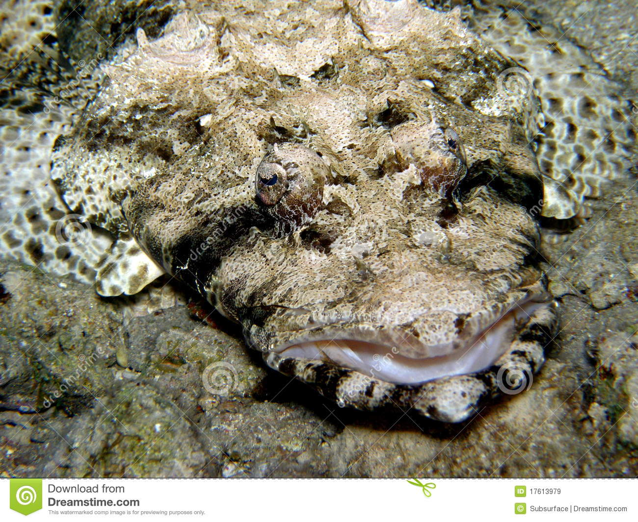 Crocodile Fish/ Flat Head - Red Sea