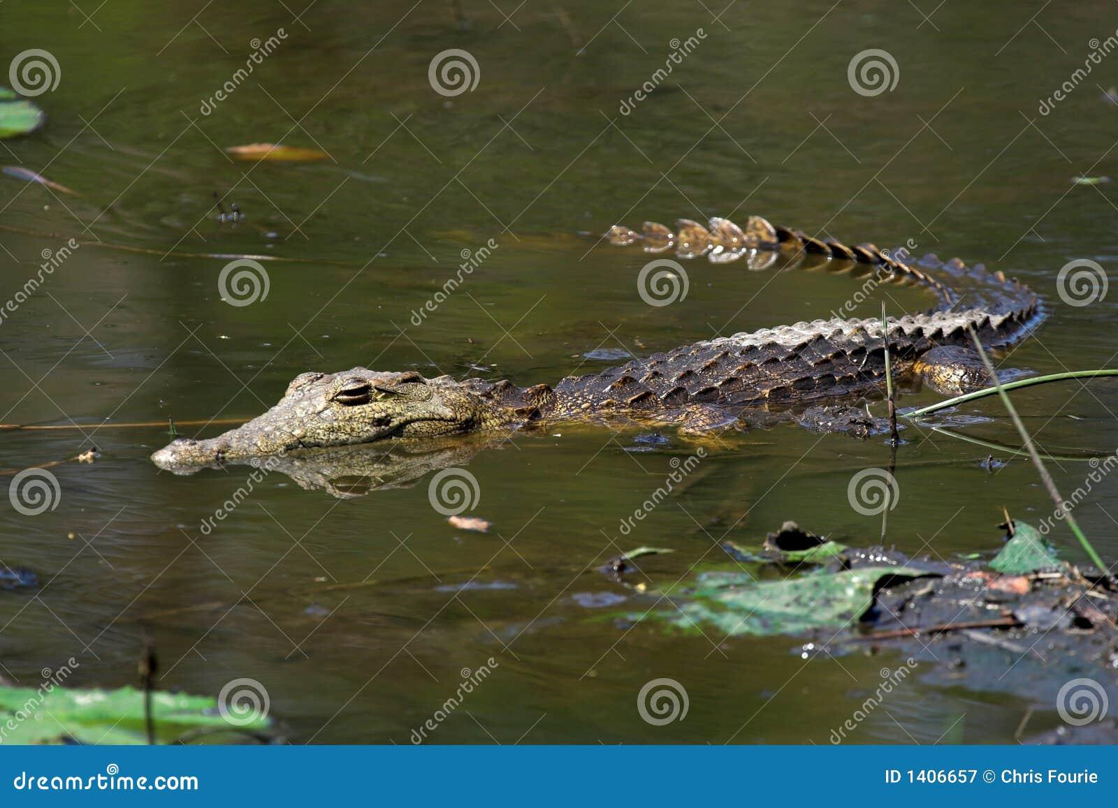 Crocodile juvénile