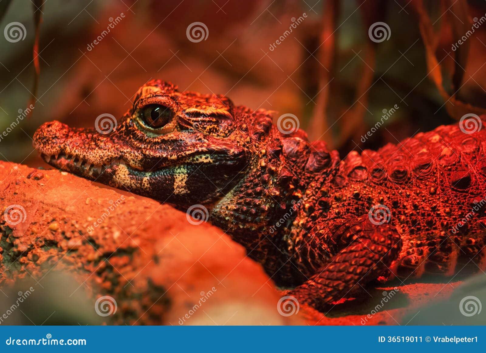 Crocodile nain (tetraspis d Osteolaemus)