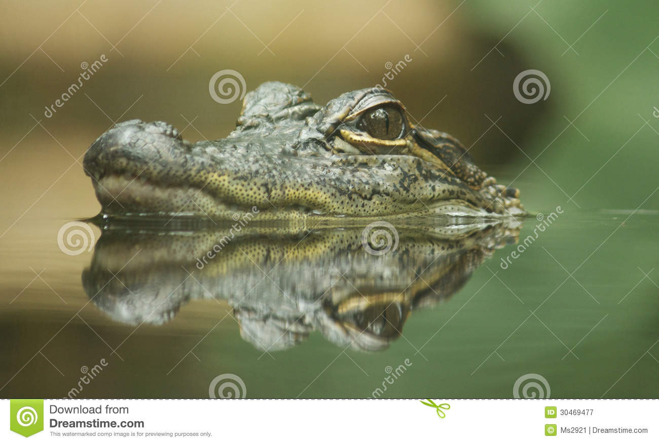Head of baby crocodile coming Baby Head Coming Out