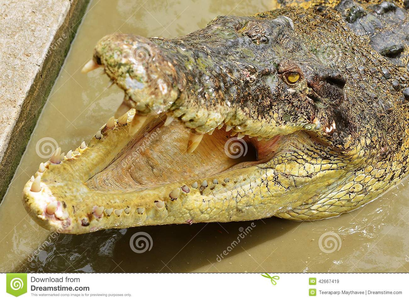 Crocodile Stock Photo - Image: 42667419