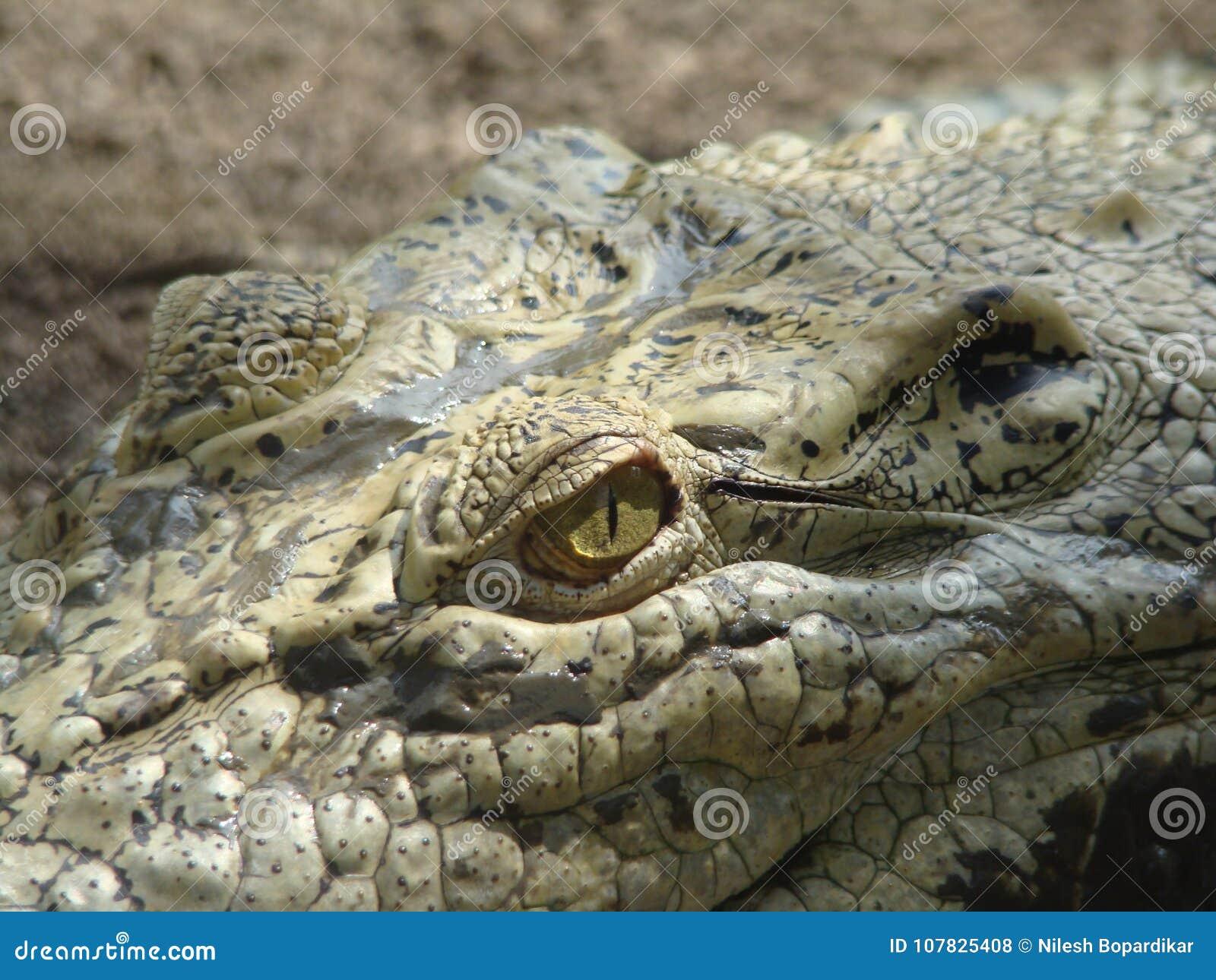 Crocodile Saying dare if you come here