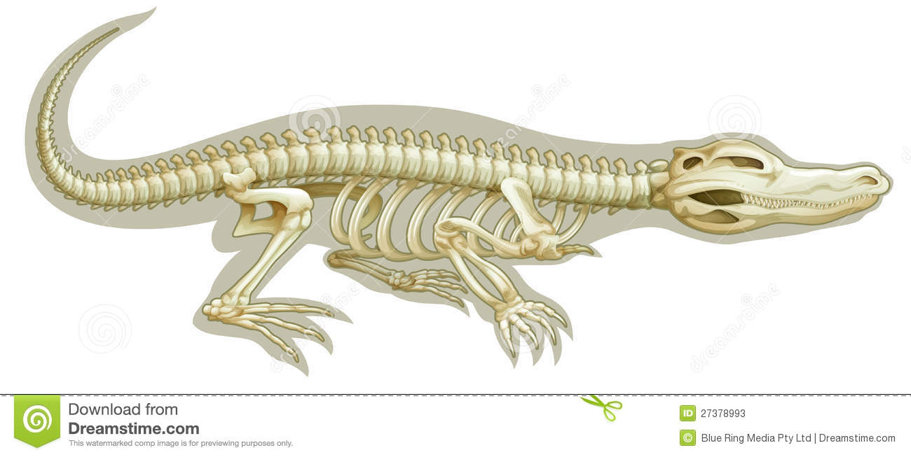 Illustration of a Crocodile skeletal system on a white background.