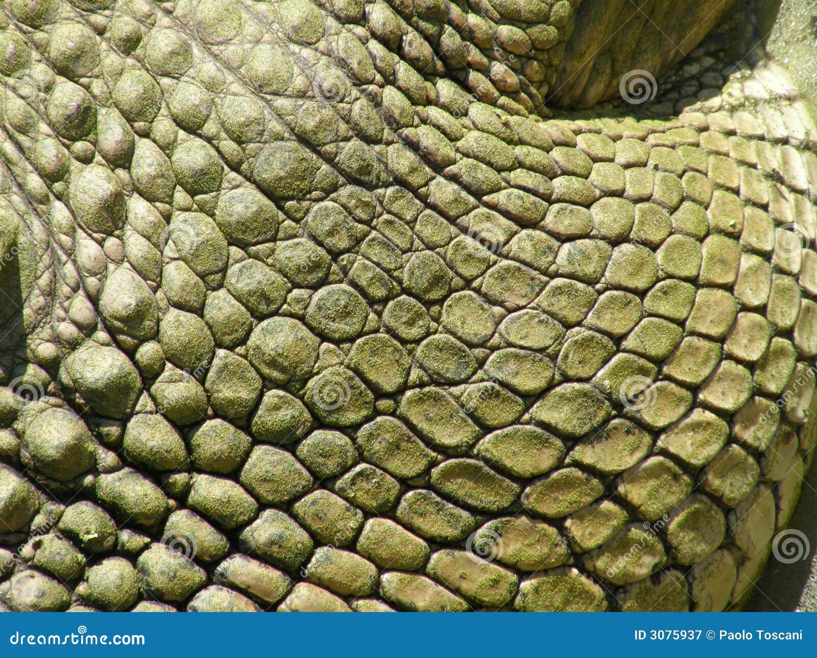Crocodile skin closeup stock image. Image of scale ...