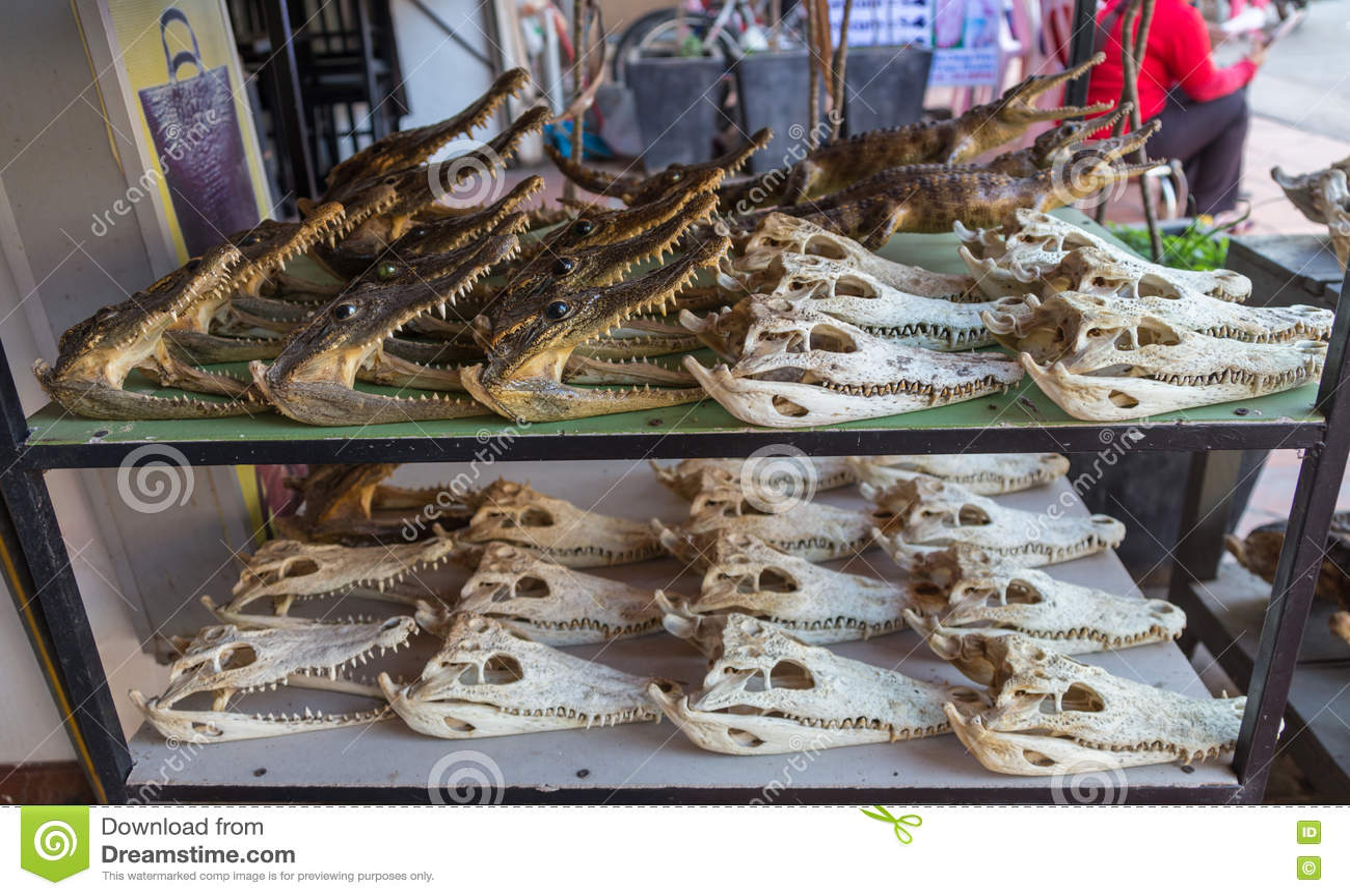Crocodile Skull On Counter Stock Photo Image Of Anatomy 74504756