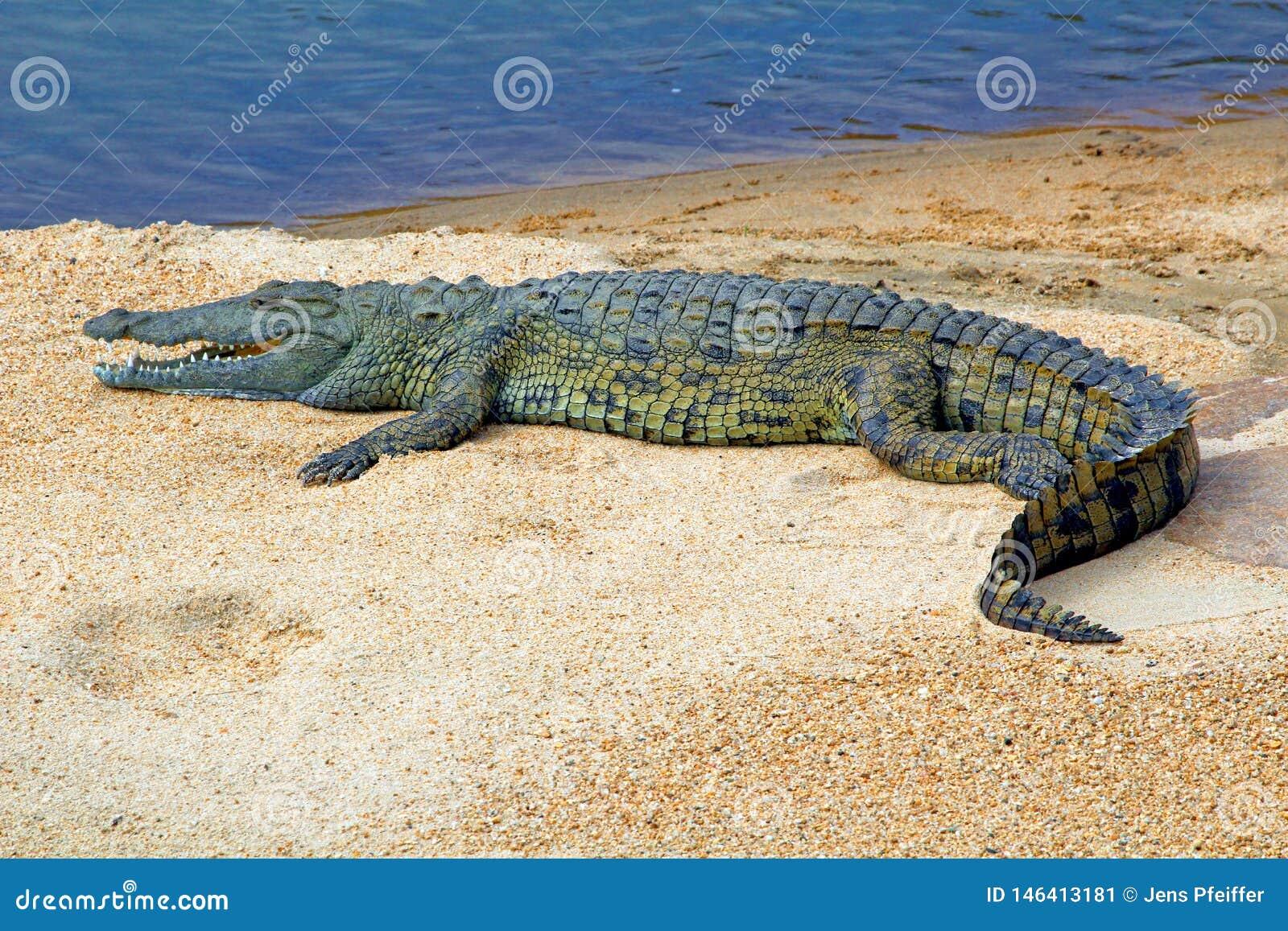 Crocodile sur le banc de sable au Souaziland/Eswatini