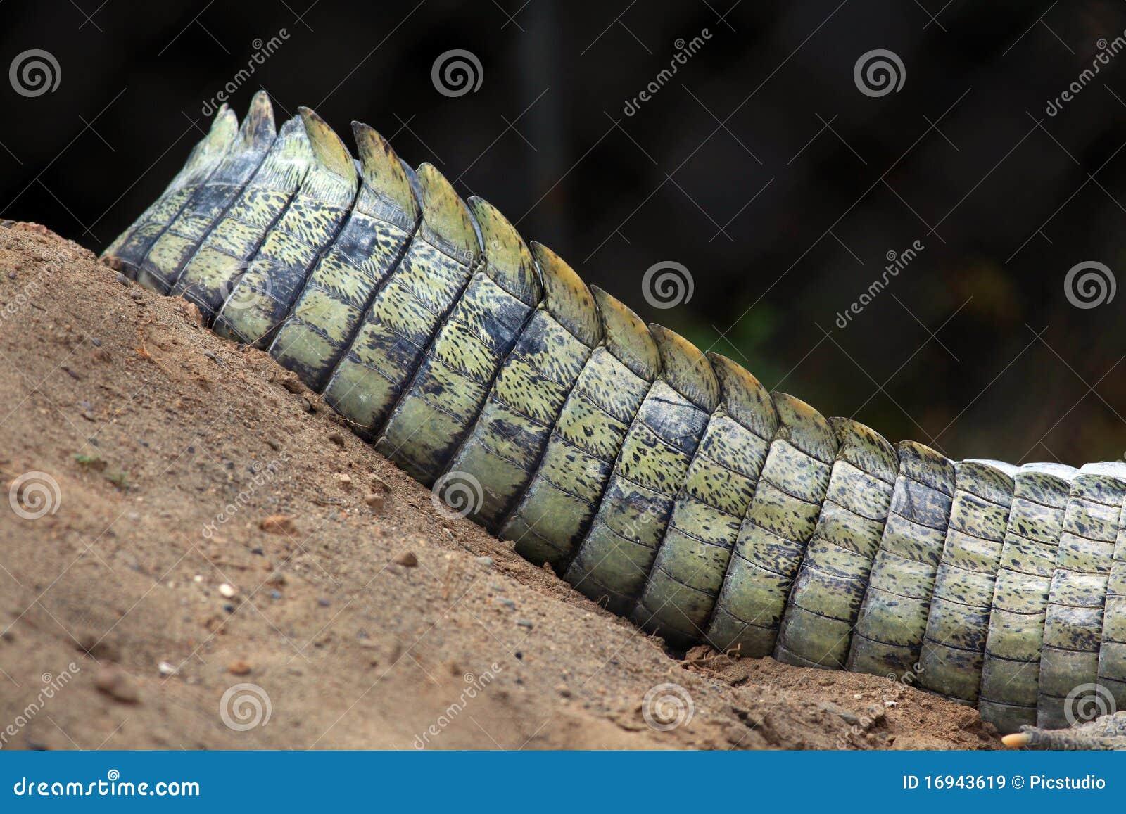 Crocodile tail - photo#26