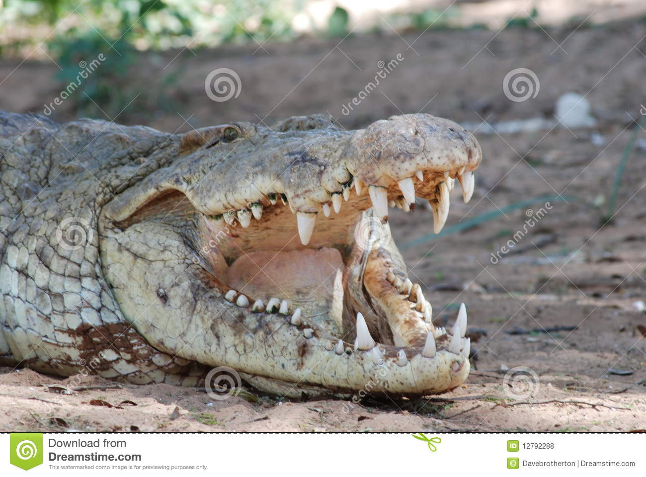 Crocodile Teeth Royalty Free Stock Photos - Image: 12792288