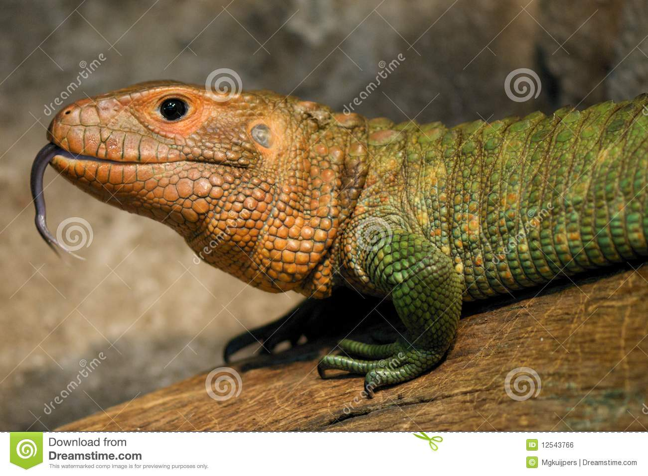 Crocodile Teju Stock Photo  Image Of Rainforest  Dinosaur