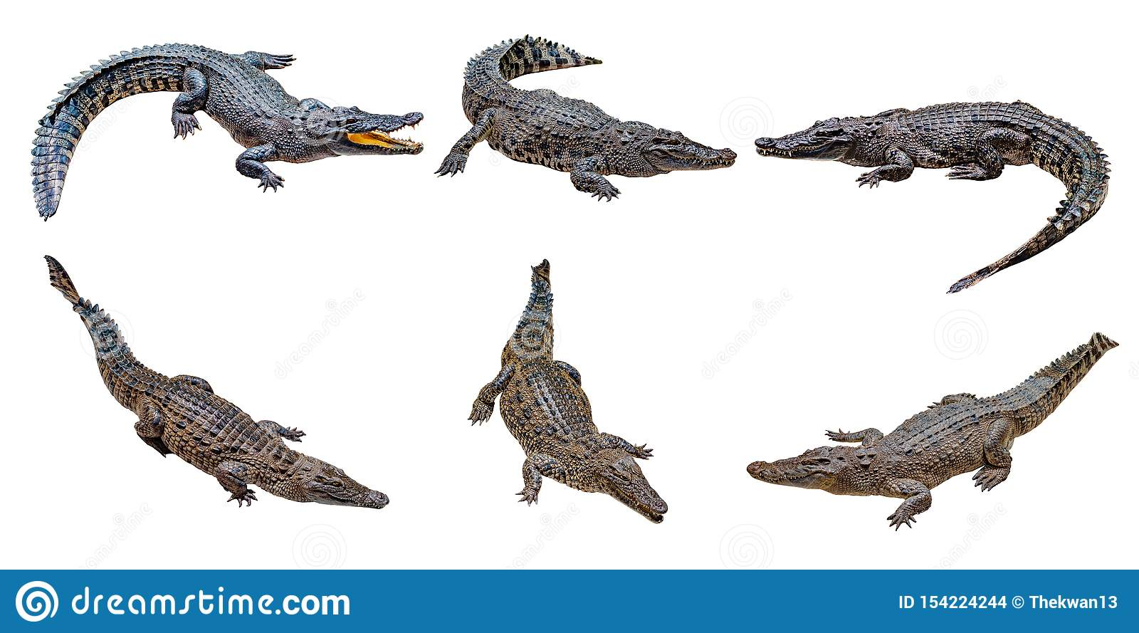 Crocodile on a white background , isolated , dangerous annimals