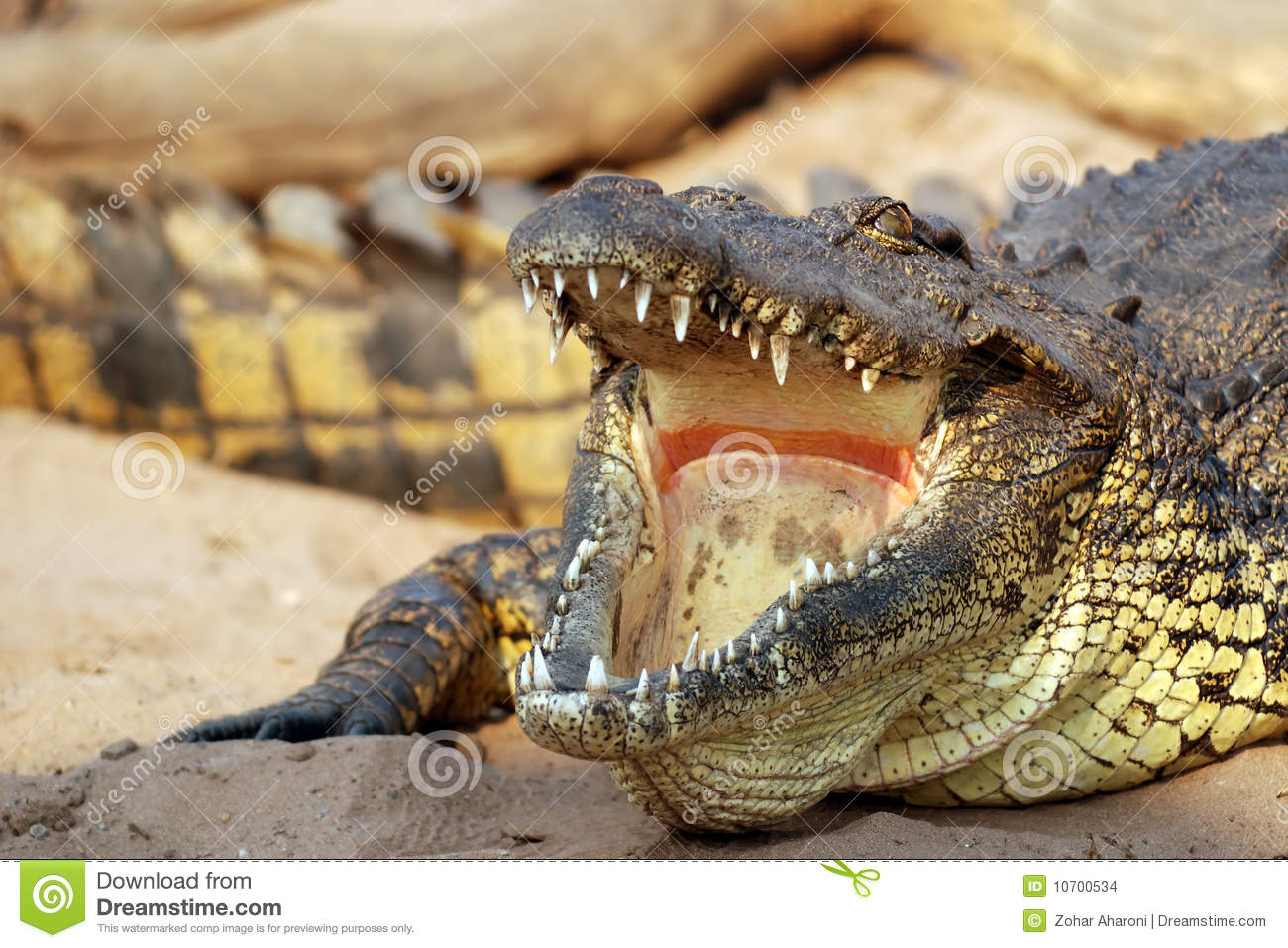 Crocodile in the Zambezi stock photo. Image of reptile ...