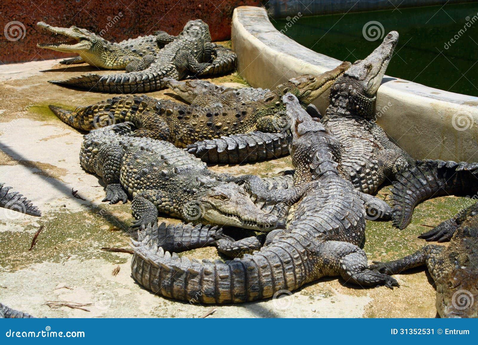 jamaican crocodile - photo #19