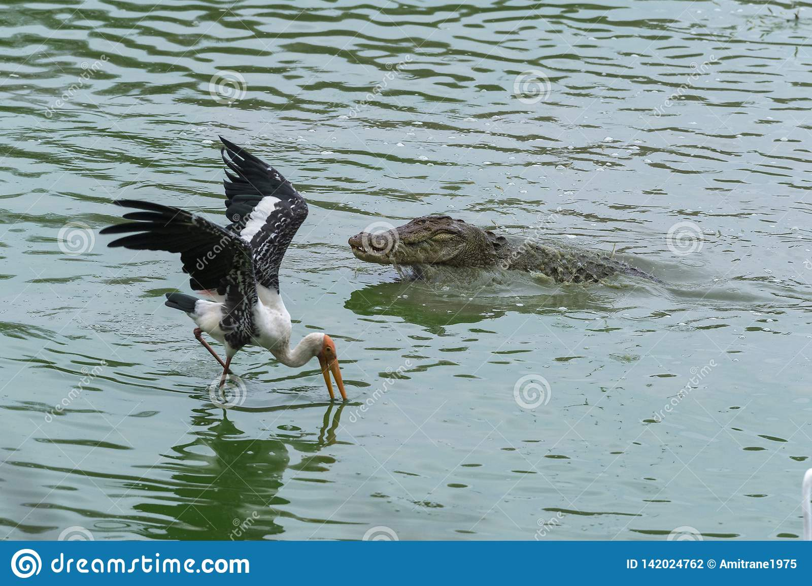 Crocodilo e cegonha que alimentam em peixes no parque nacional de Ranthambhore