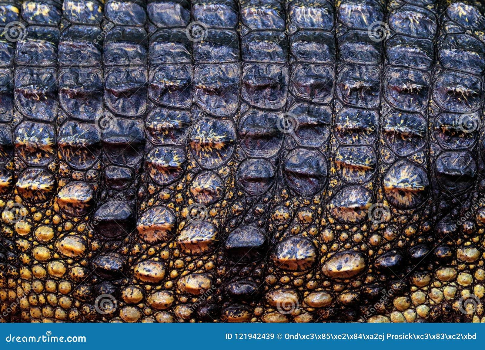 Crocodilo Siamese, siamensis do Crocodylus, nativo de água doce do réptil a Indonésia Detalhe da pele do close-up de animal raro