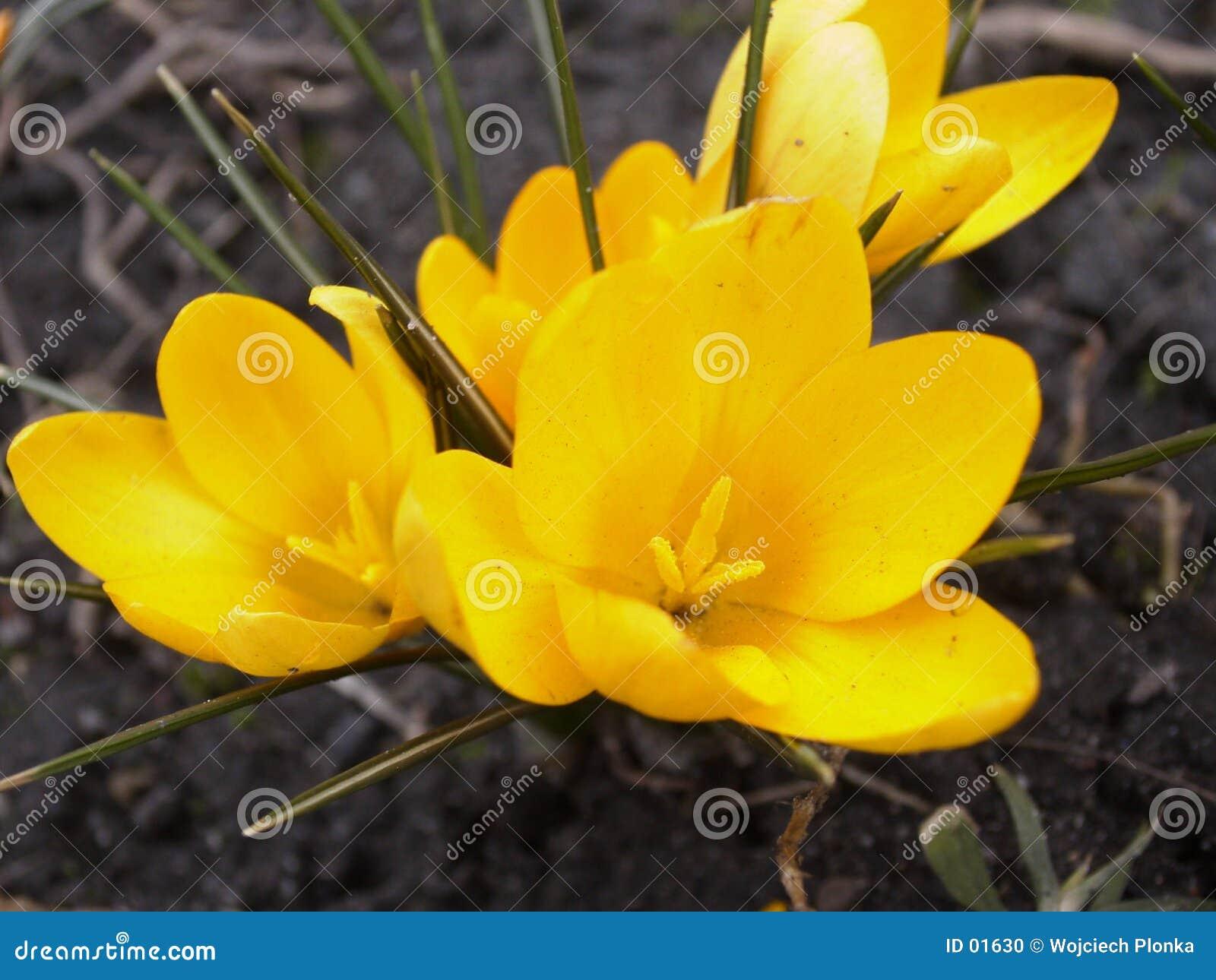 Crocus 4 wiosenne się żółty