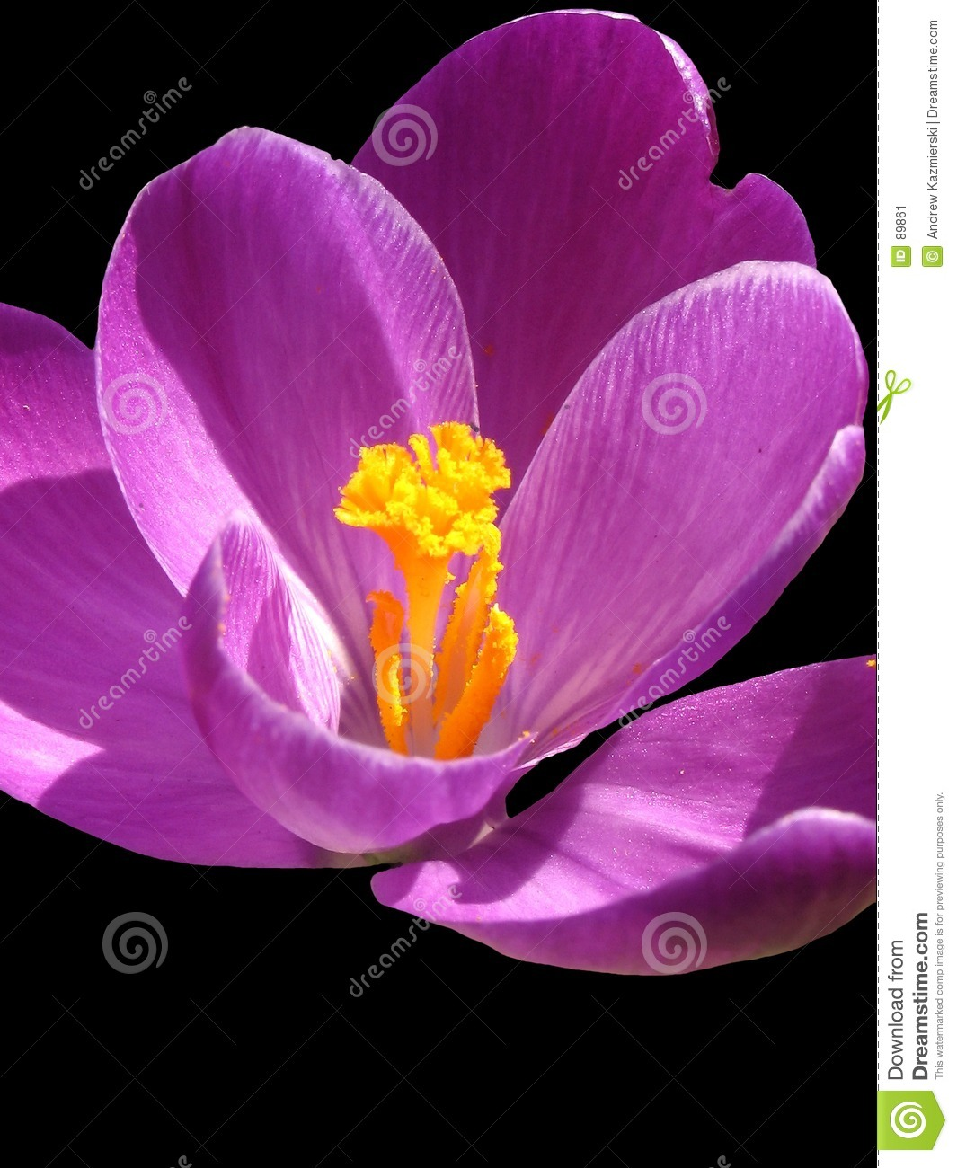 Crocus Black Background