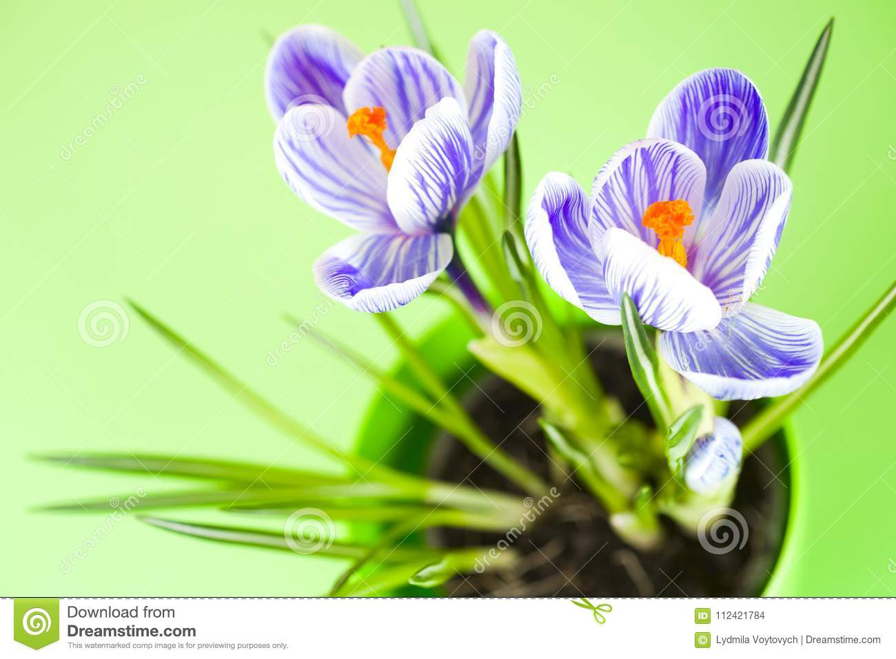 4c1e5415a8b1 Crocus on bright colorful background spring flowers bunch of flowers spring  flower bouquets flower and beautiful