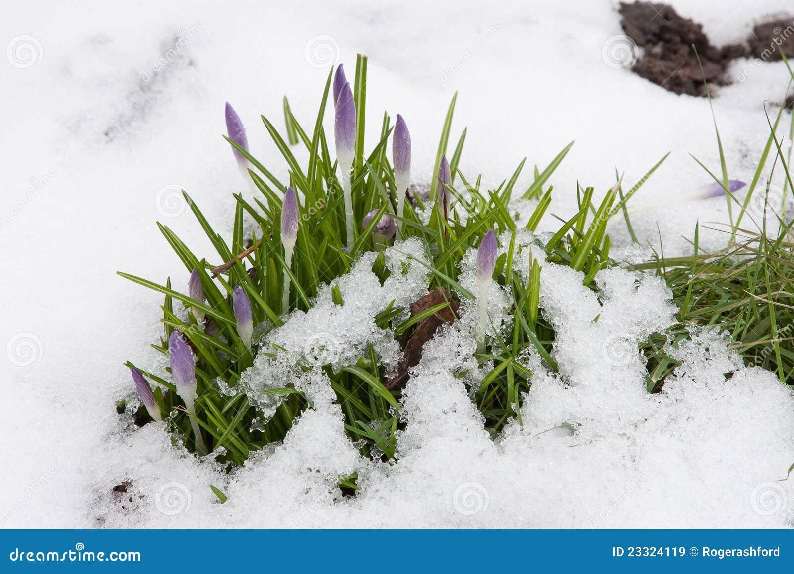 Crocus Buds in Snow