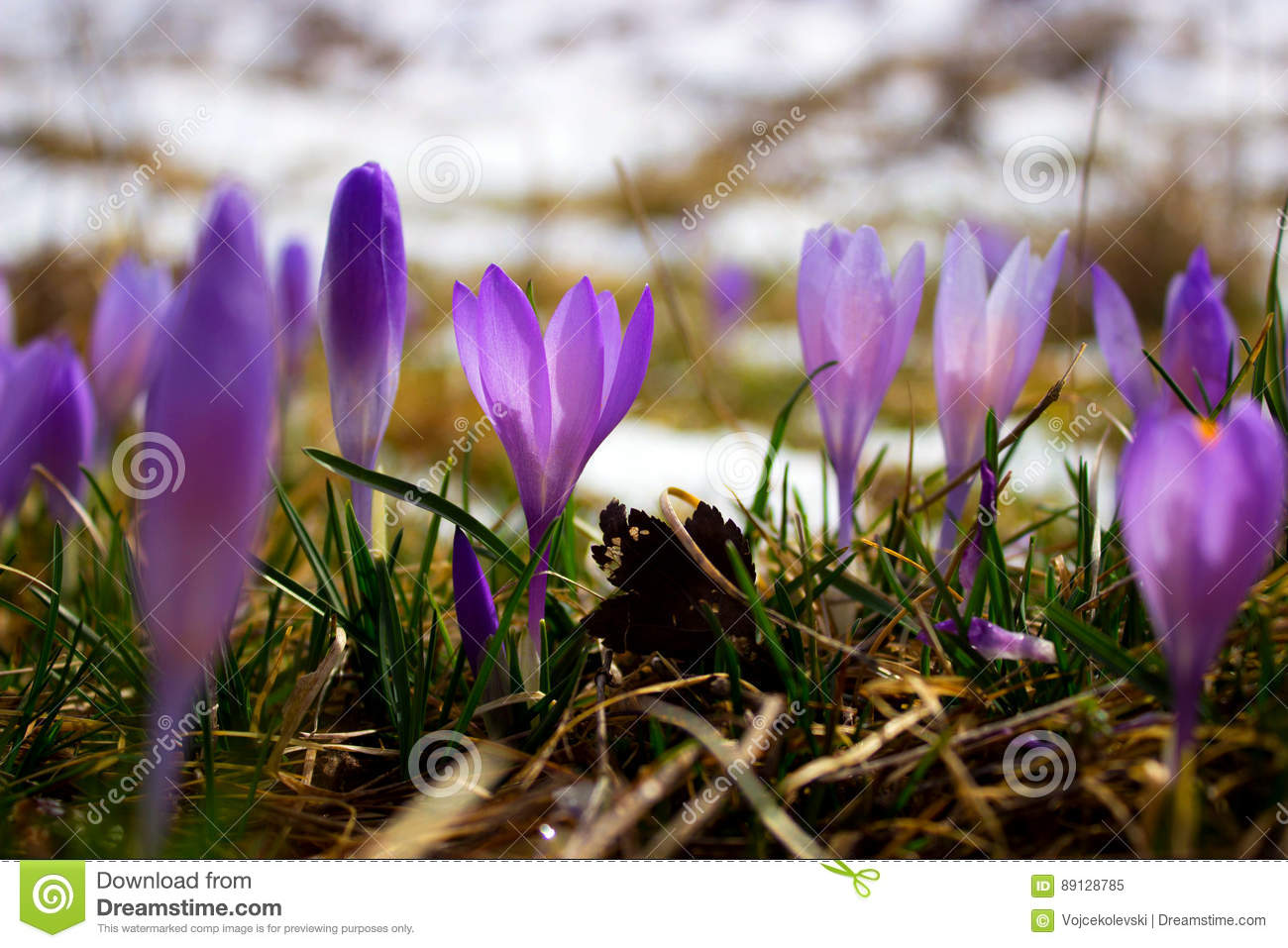 Crocus Bulb First Spring Flower After Snow Stock Image Image Of