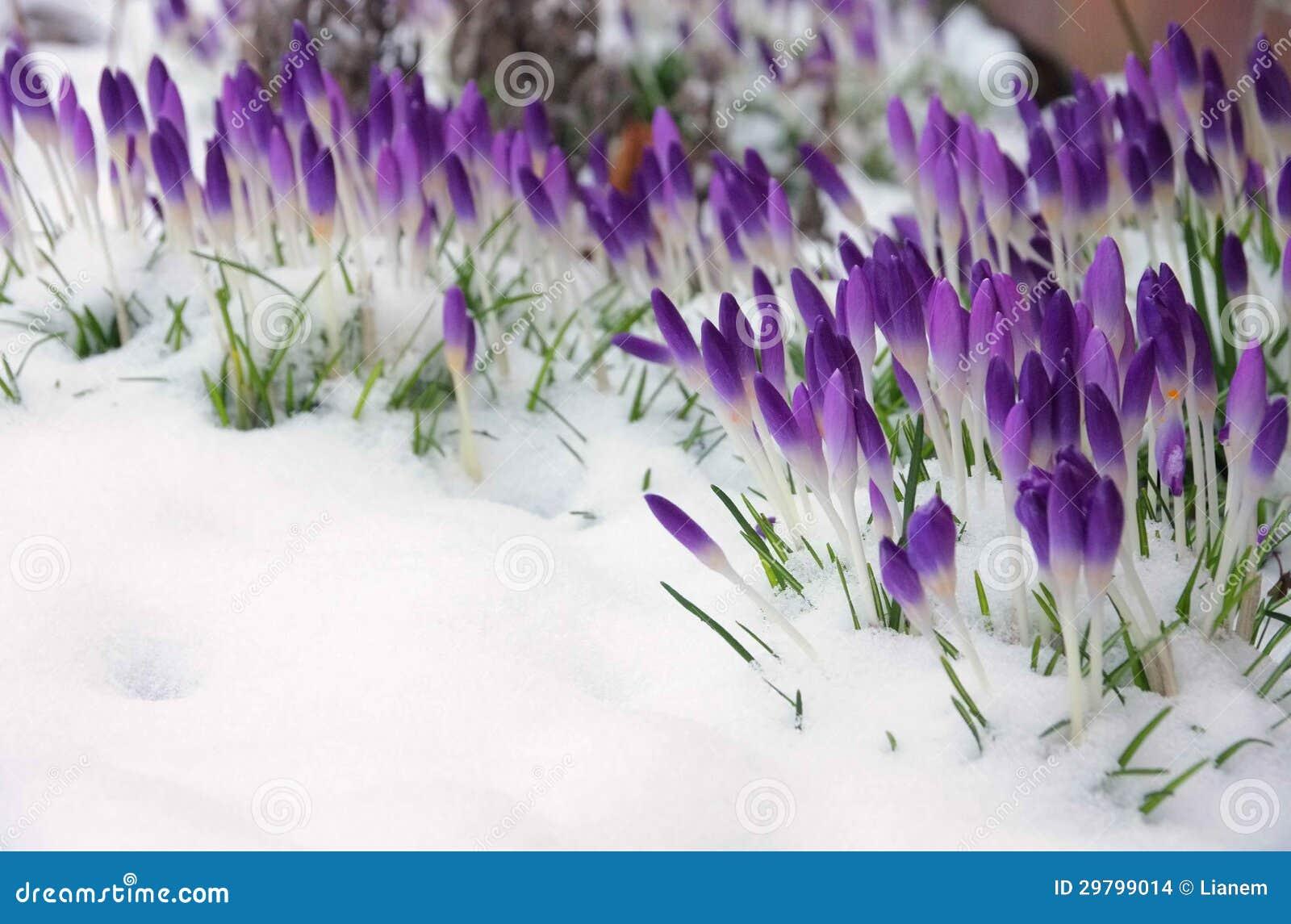 Crocus dans la neige photo stock image du froid hiver - Photos de neige gratuites ...