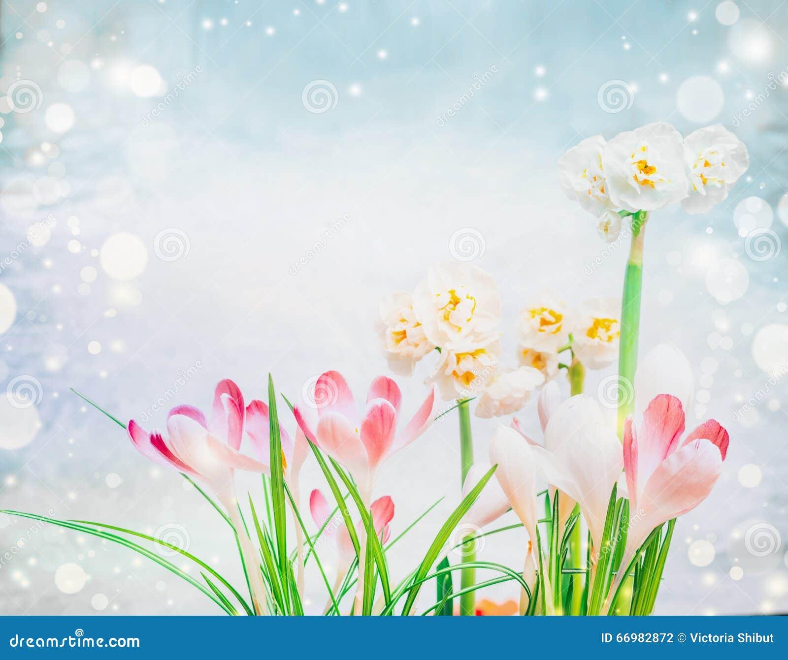 Crocus et fleurs roses de jonquilles sur le fond bleu,clair avec le bokeh