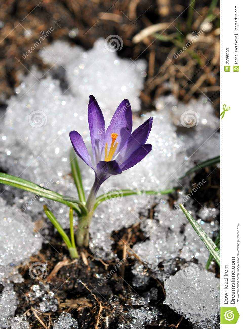 The Weather Continues Could This Be The First Flower Of