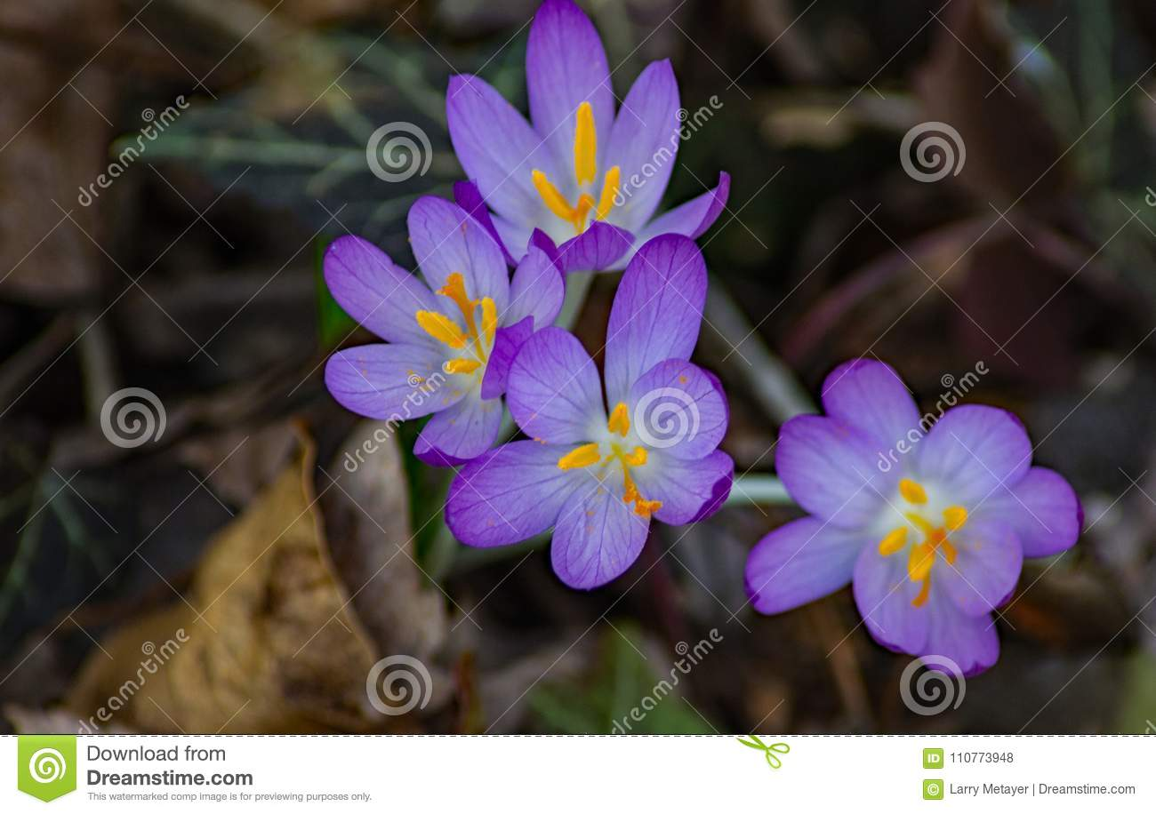 Crocus First Flower Of Spring Group 2 Stock Photo Image Of Blue