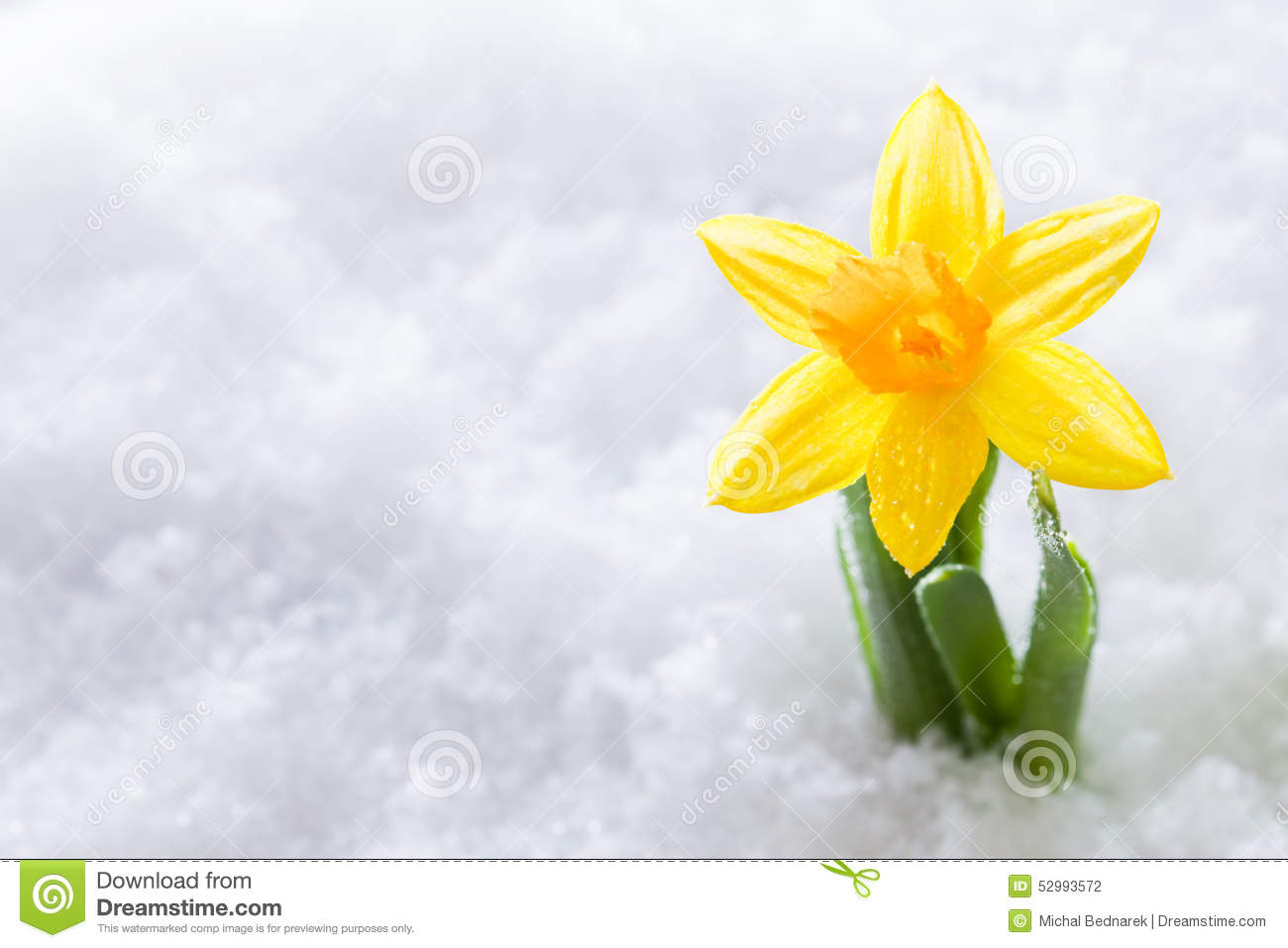 Crocus Flower Growing Form Snow Spring Start Stock Photo Image Of