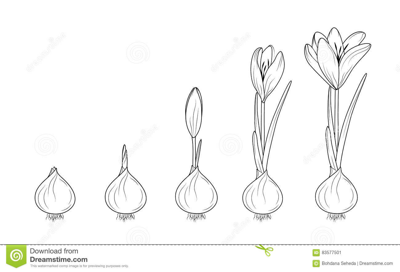 seed germination stages bean clip art sketch coloring page