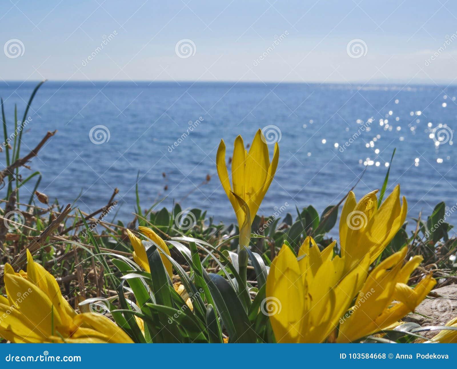 Crocus flowers on the blue aegean sea background