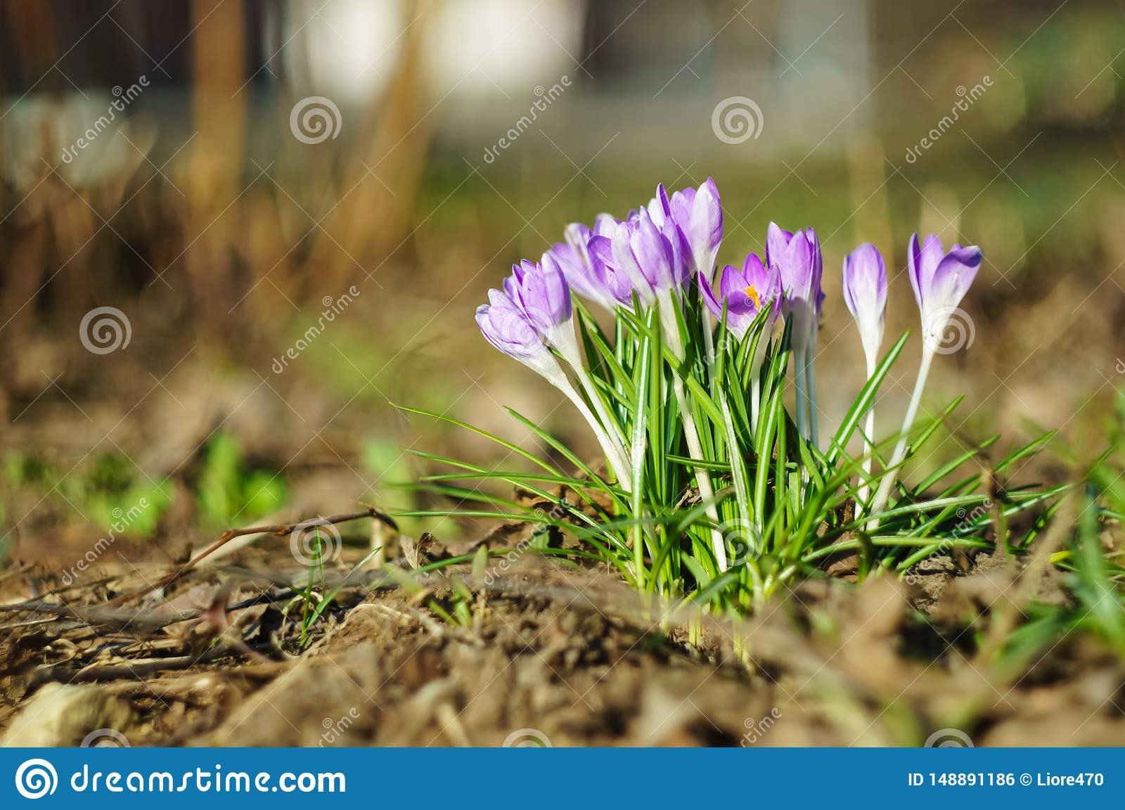 Crocus flowers in early spring on a blurred background. Soft focus. Selected focus