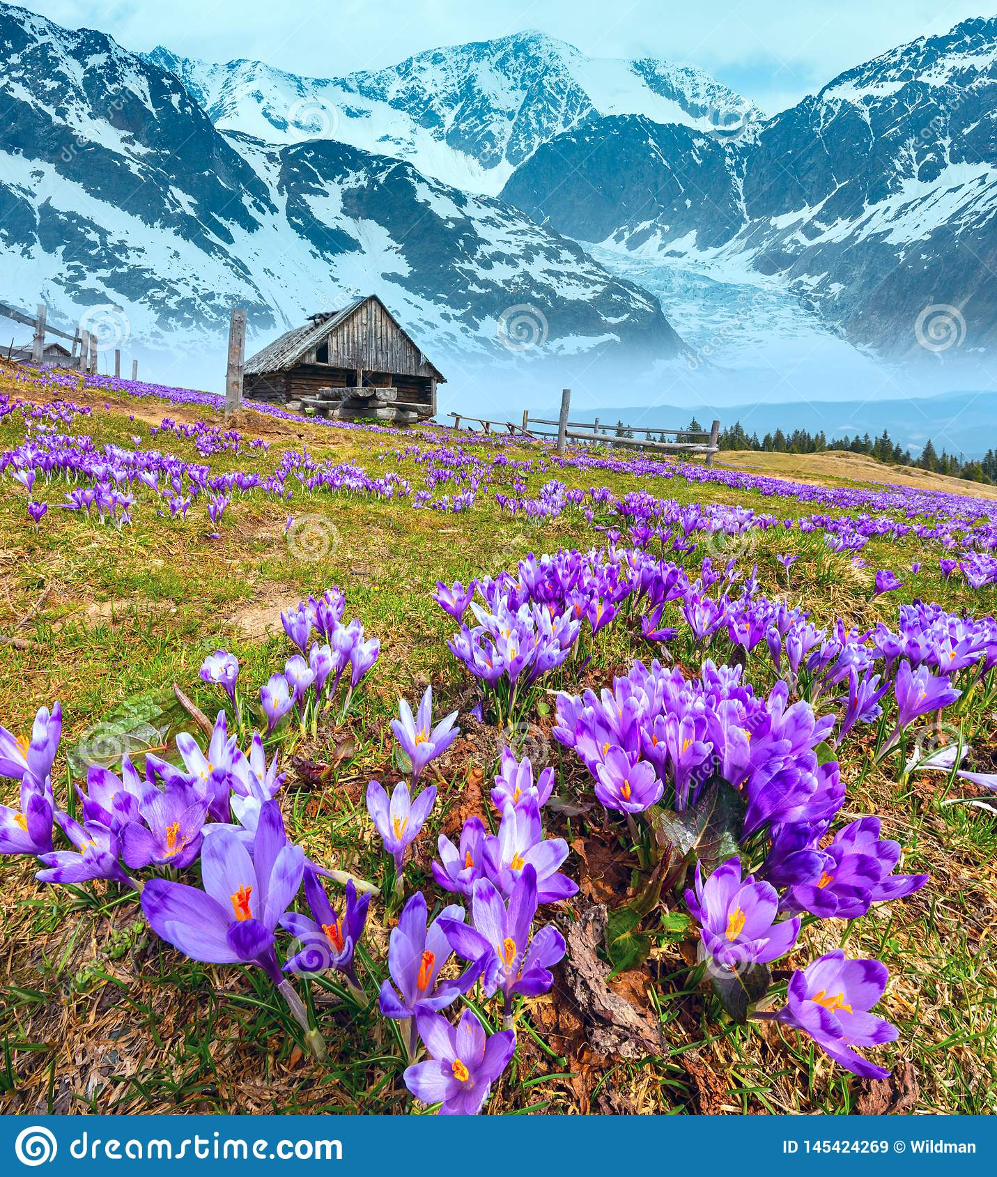 Crocus flowers on spring mountain and glacier