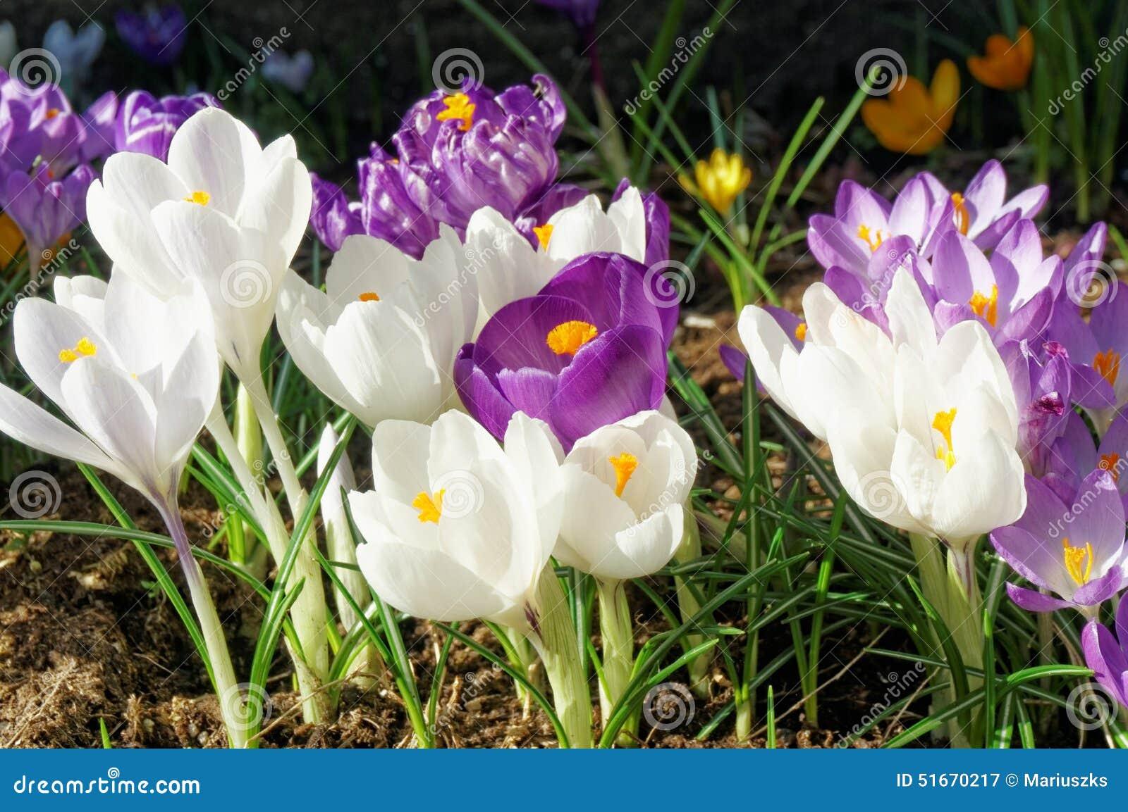 Crocus Flowers In Spring Norway Stock Image Image Of Yellow