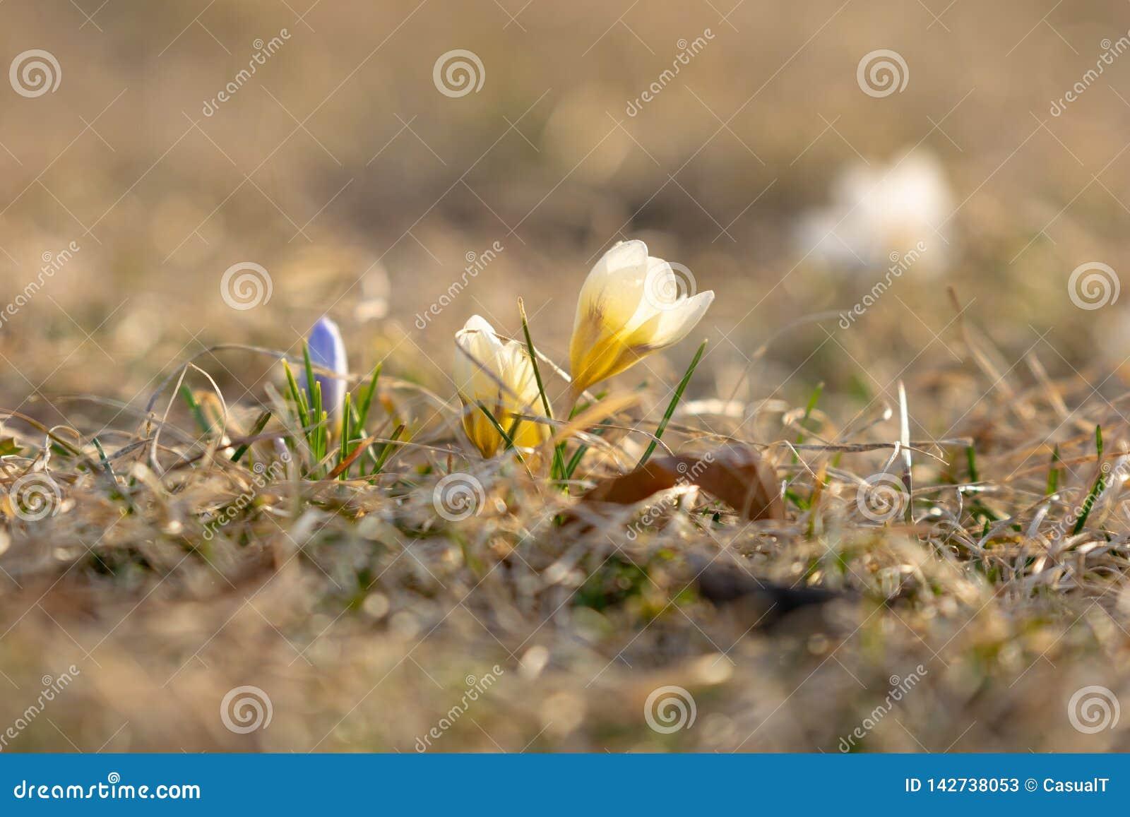 Crocus jaunes et pourpres environ à fleurir en premier ressort, sur un fond gentil de bokeh, plan rapproché
