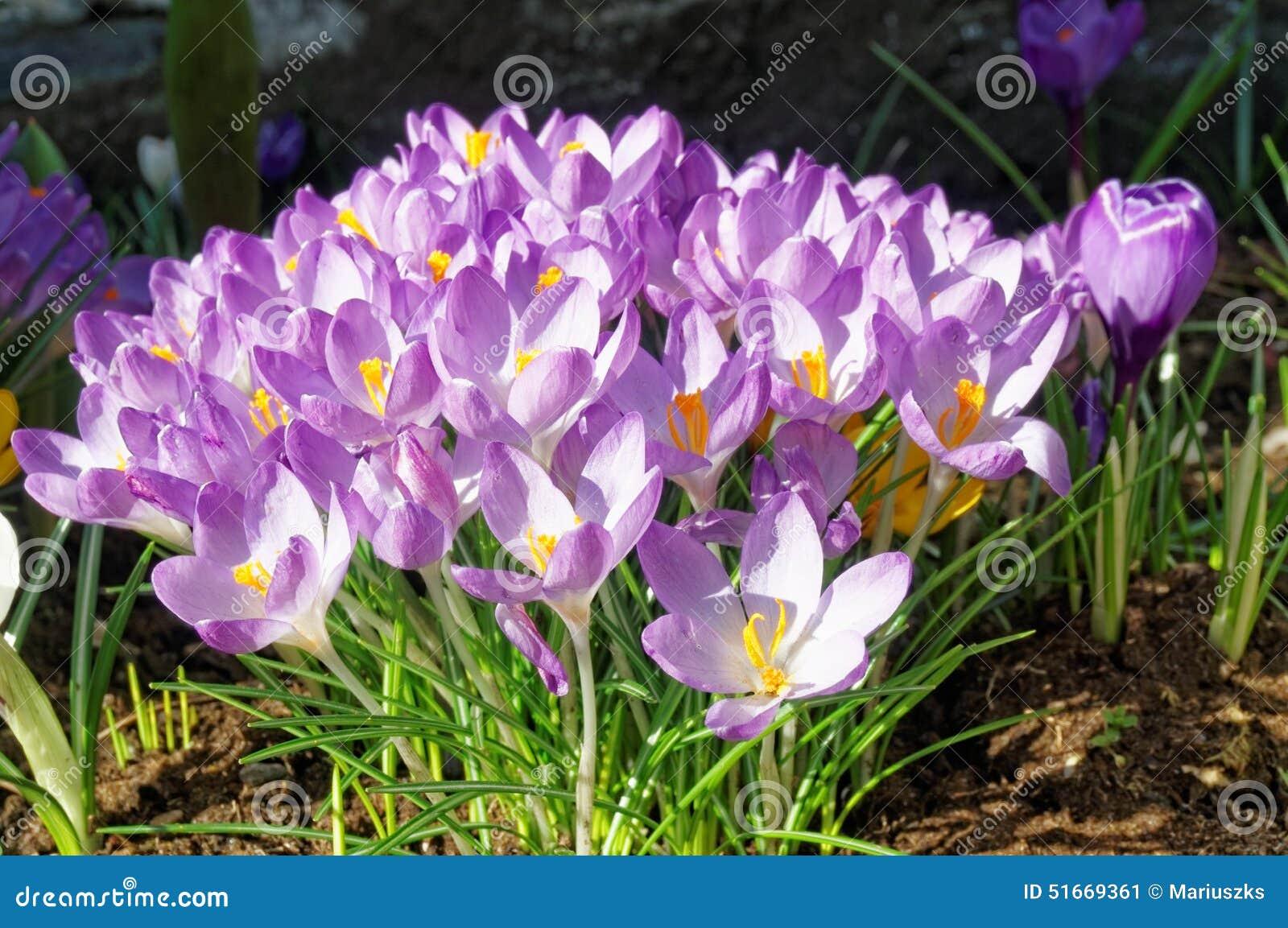 Crocus Longiflorus Flowers In Spring Norway Stock Image Image Of
