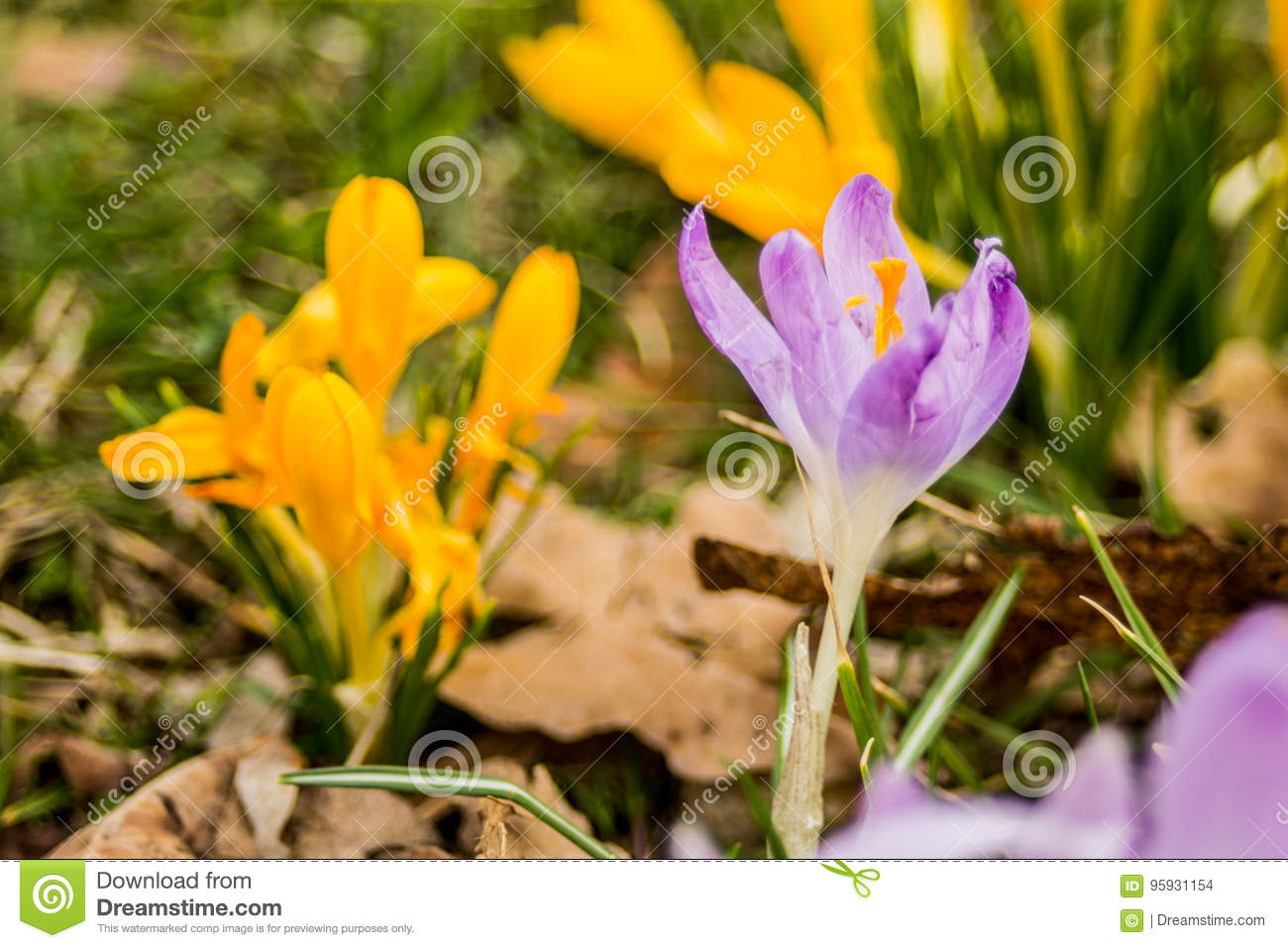 Crocus Plural Crocuses Or Croci Stock Photo Image Of Family