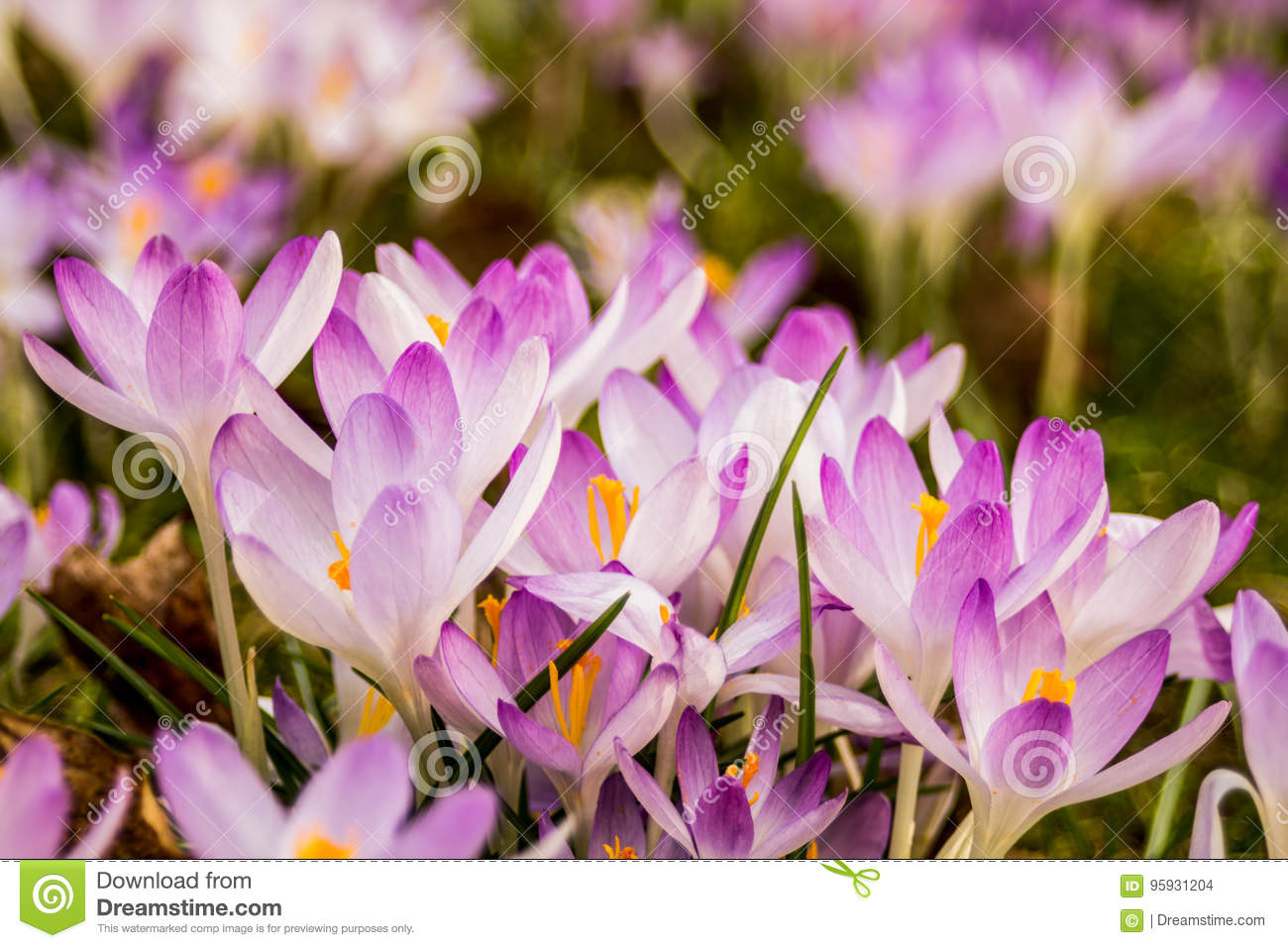 Crocus Plural Crocuses Or Croci Stock Photo Image Of Crocuses