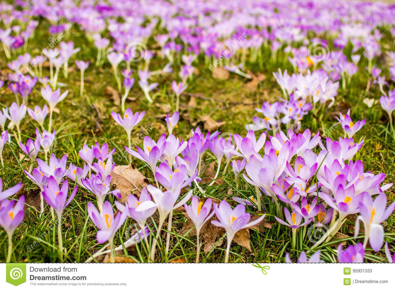 Crocus Plural Crocuses Or Croci Stock Image Image Of Blue Flora