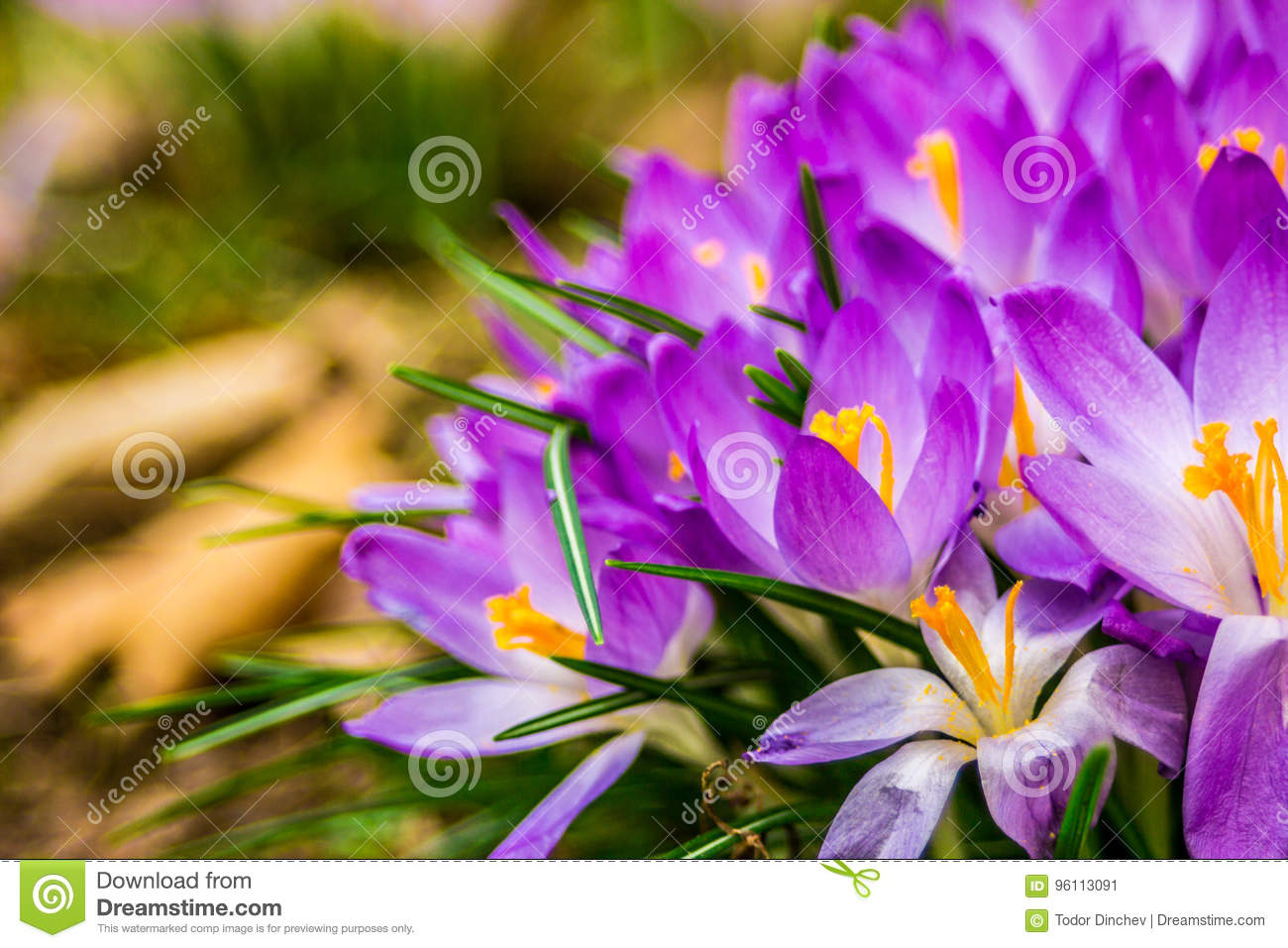 Crocus Plural Crocuses Or Croci Stock Image Image Of Park Flora