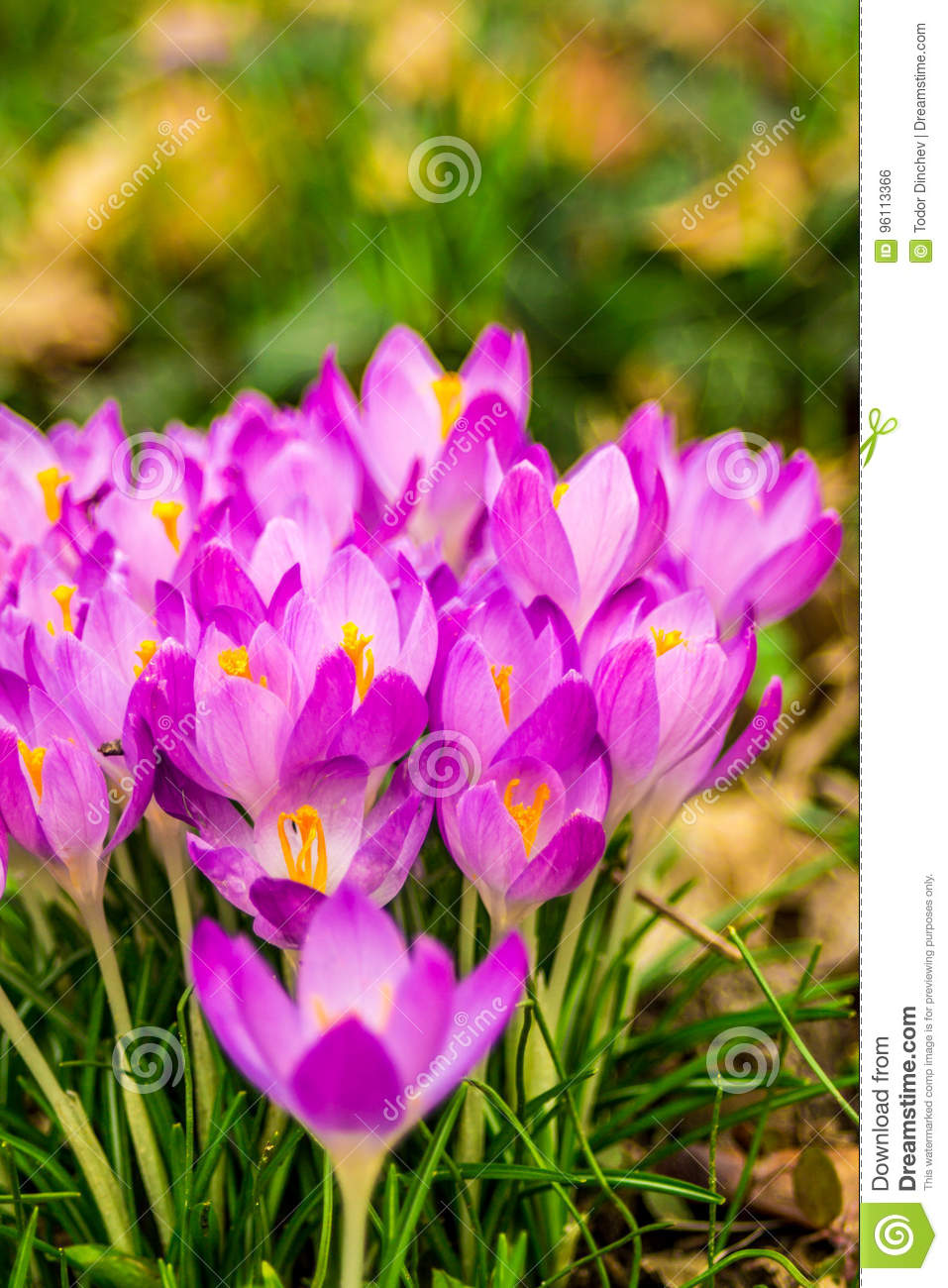 Crocus Plural Crocuses Or Croci Stock Photo Image Of Grass