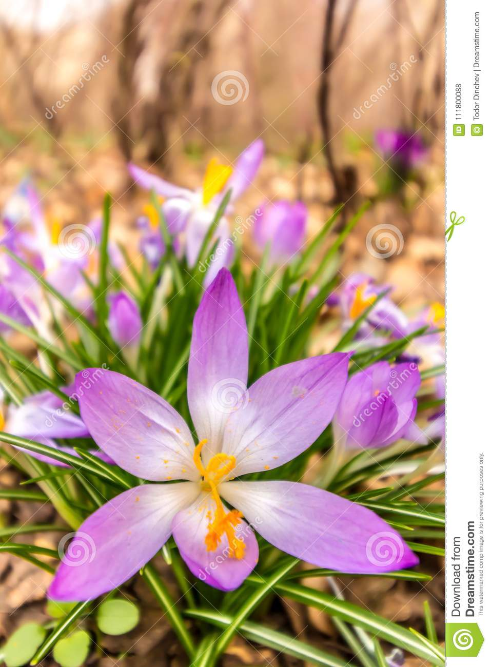Crocus Plural Crocuses Or Croci Stock Photo Image Of Botany